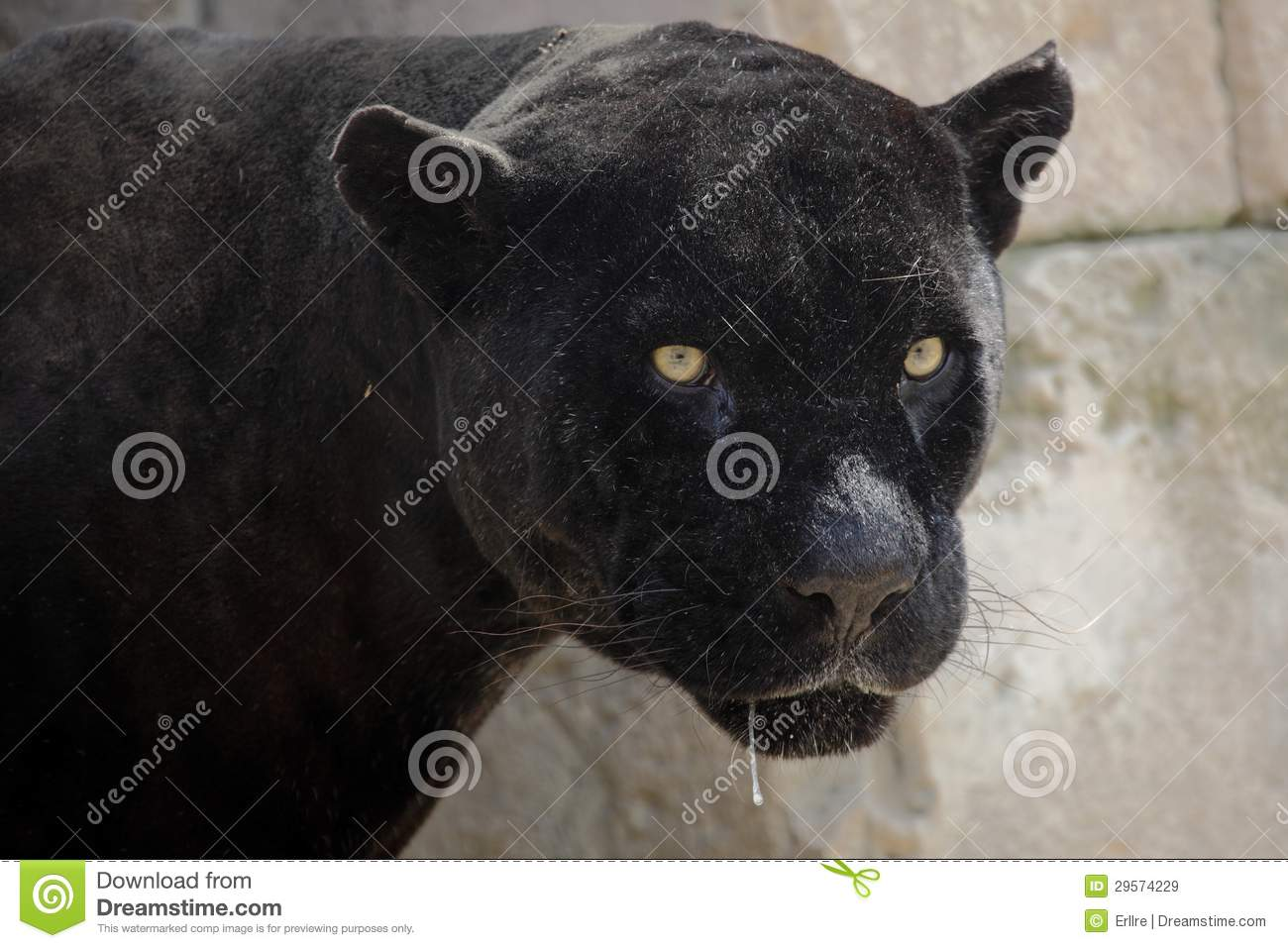 Black Panther Royalty Free Stock Images - Image: 29574229