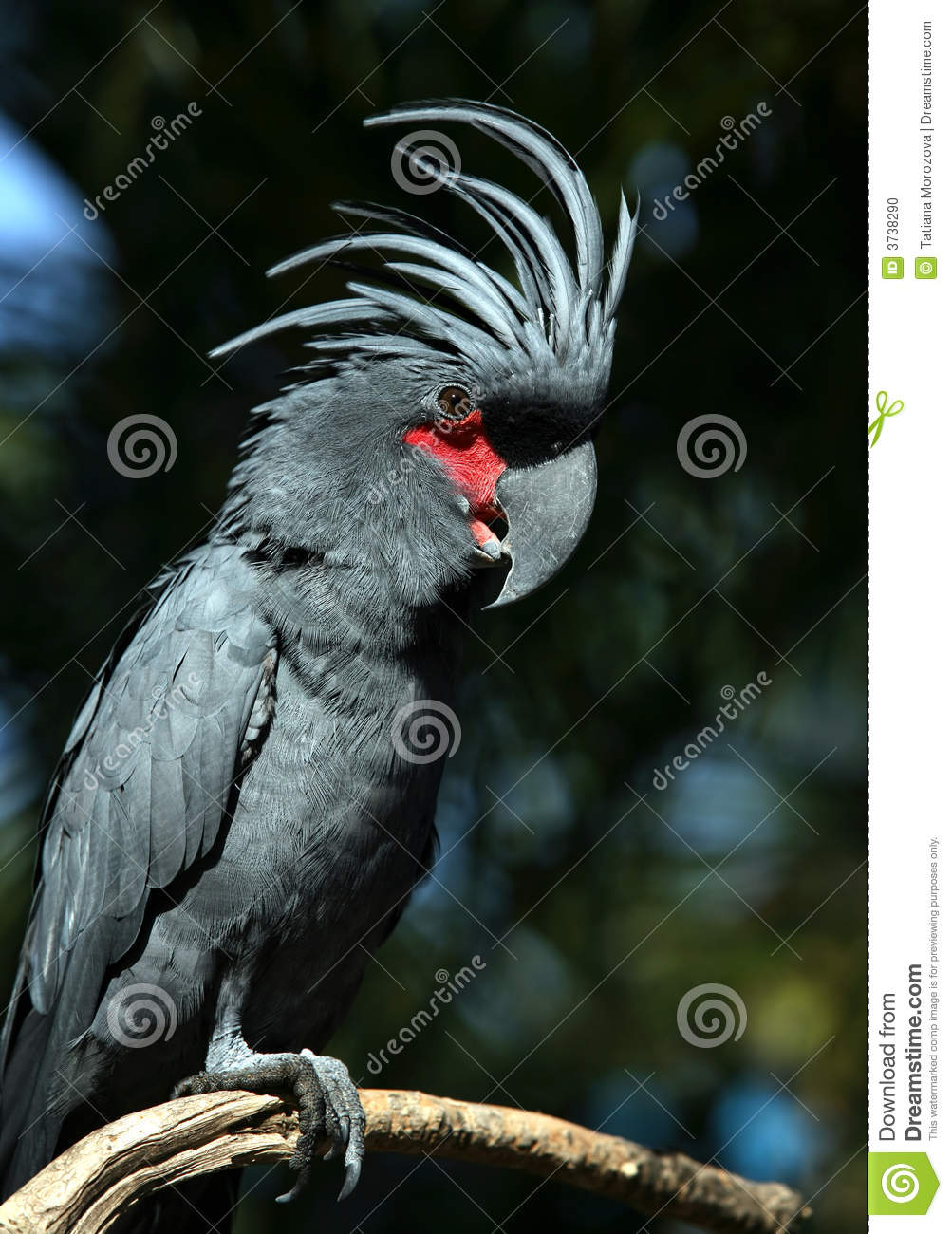 black parrot stock photo