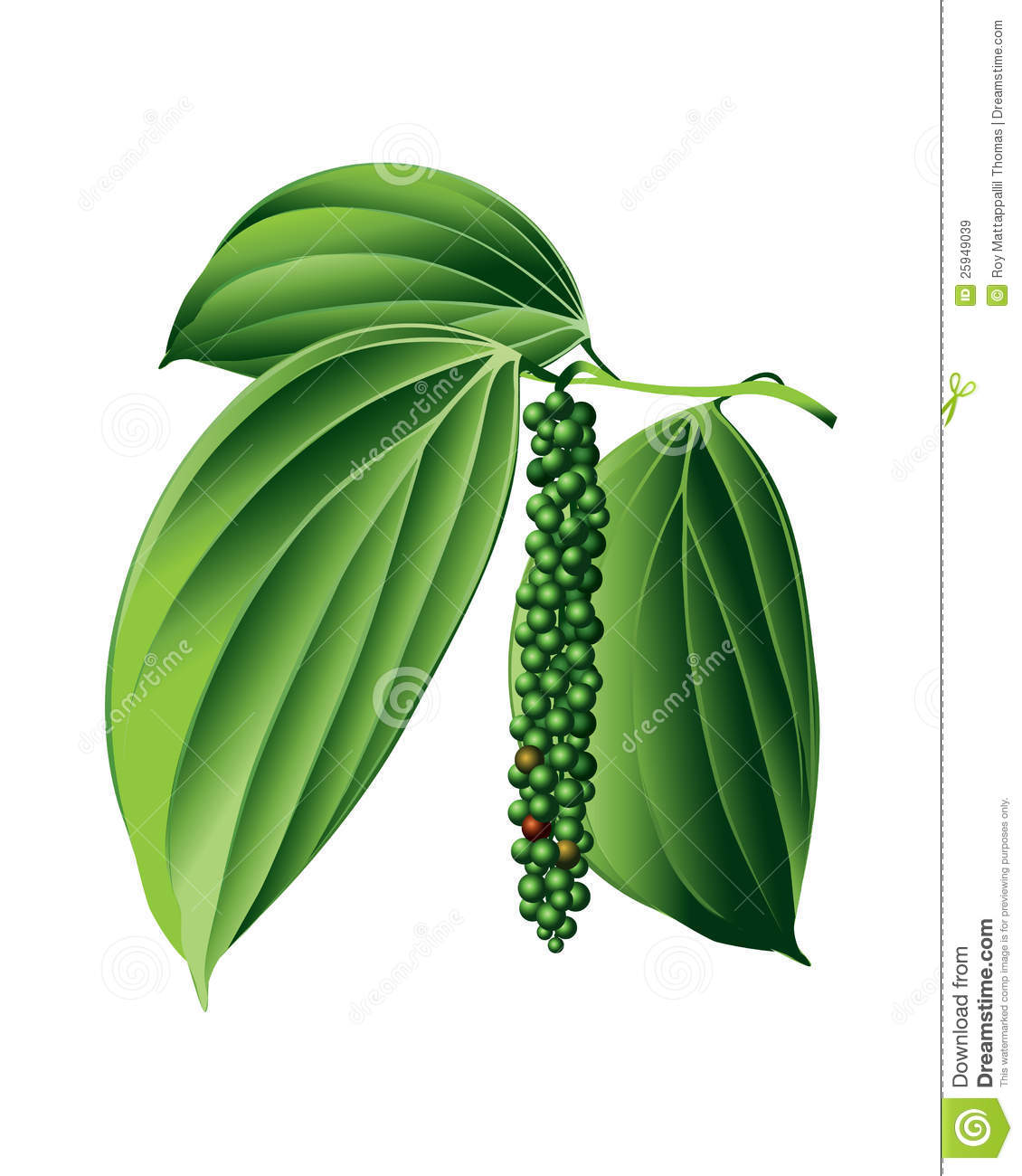 Black Pepper Plant Royalty Free Stock Images Image 25949039