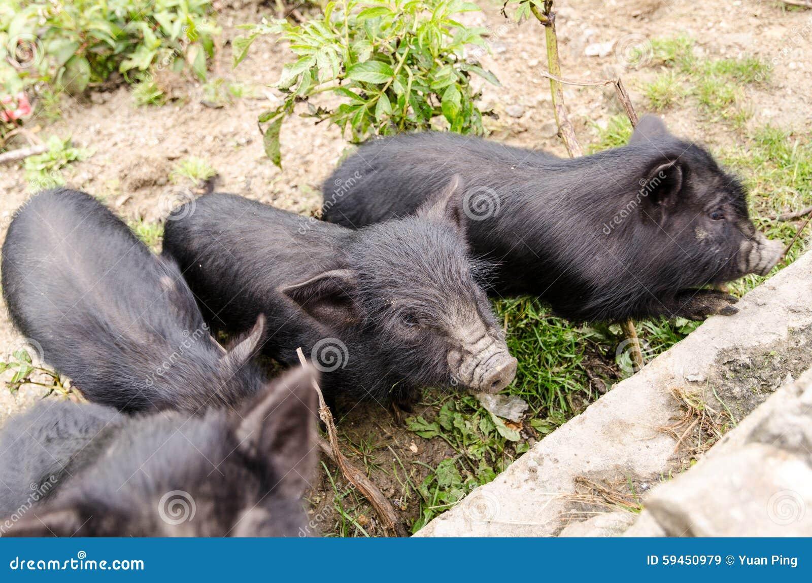 Black Pig Stock Image Image Of Asia Farm Baby Piglet