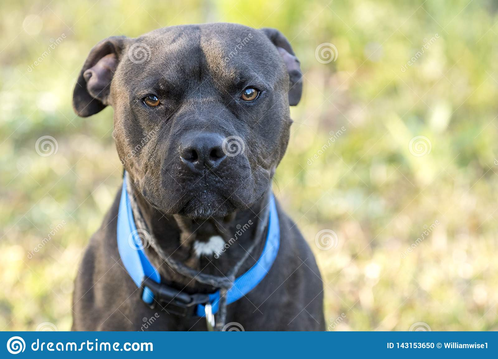 Black Pitbull Dog With Blue Collar Stock Photo - Image of