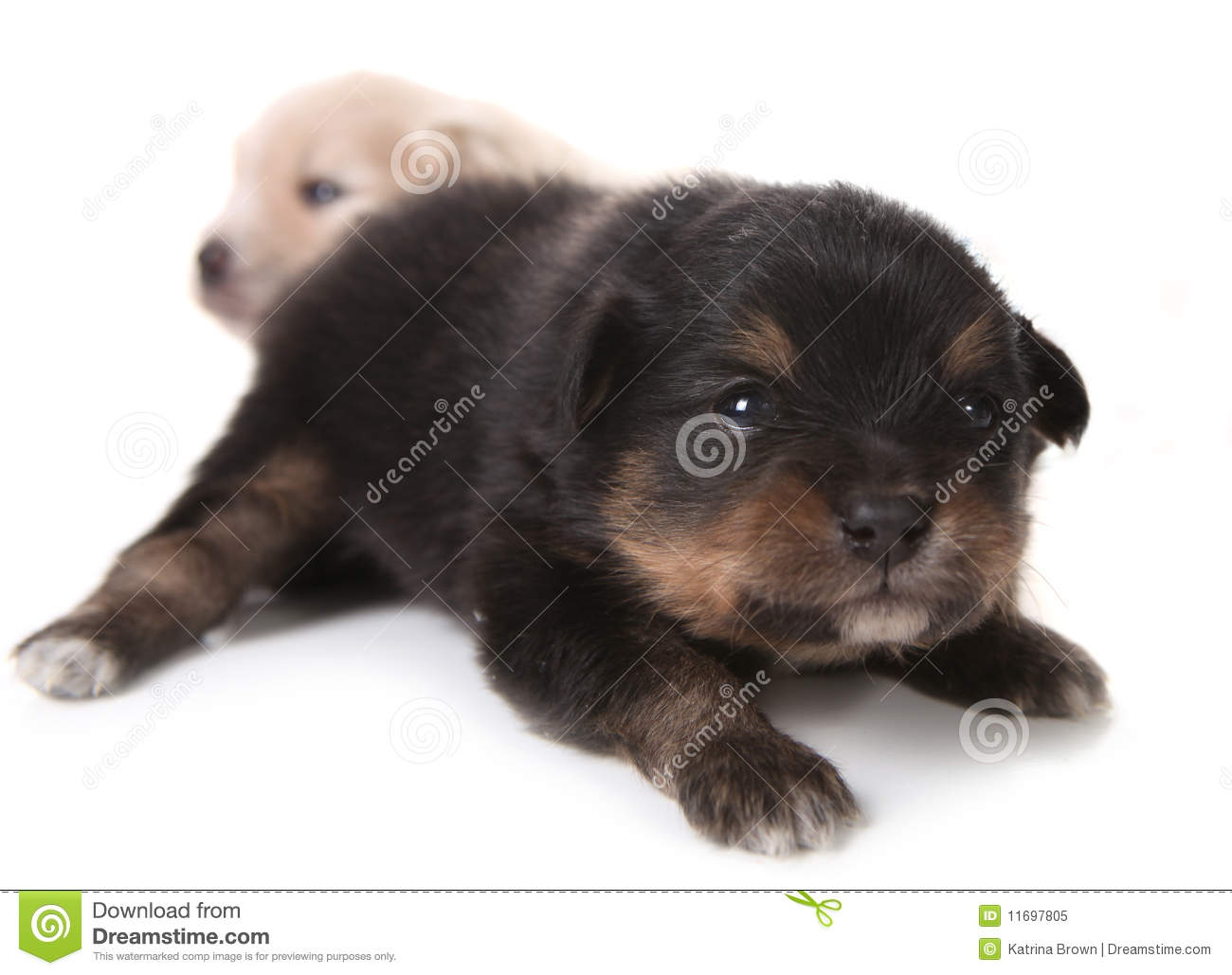 Brown And White Pomeranian Puppies Black pomeranian newborn puppy