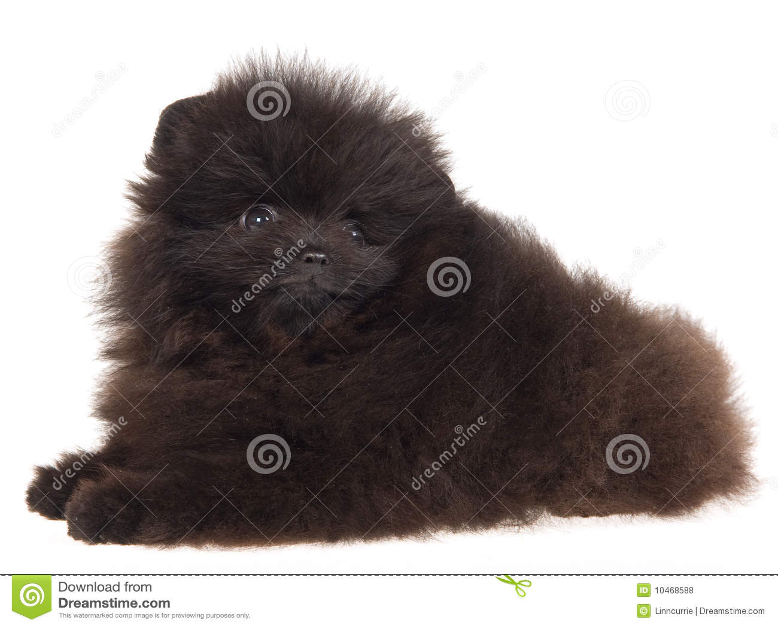 Black Pomeranian puppy on white background