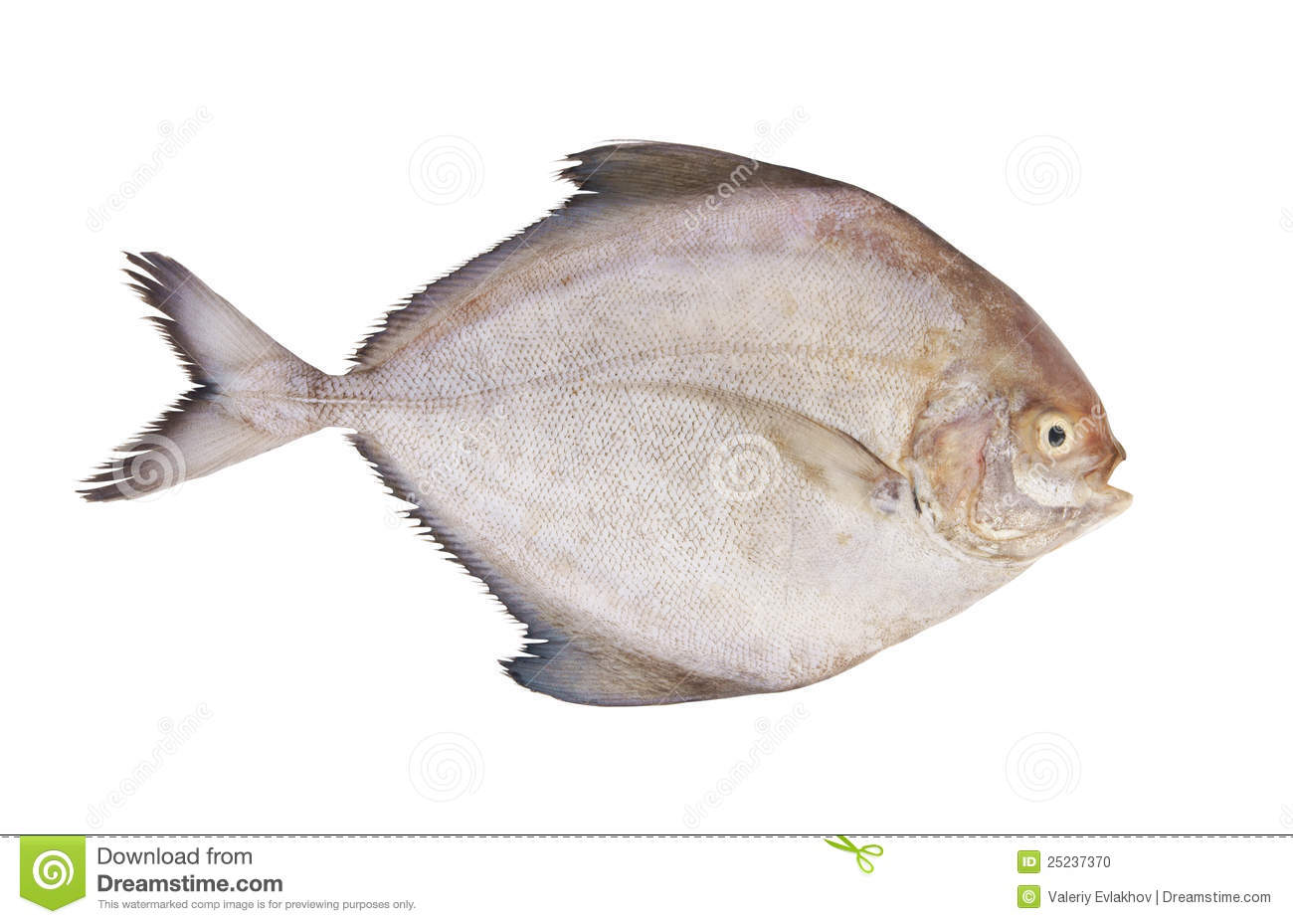 Stock Photo: Black pomfret fish isolated. Image: 25237370