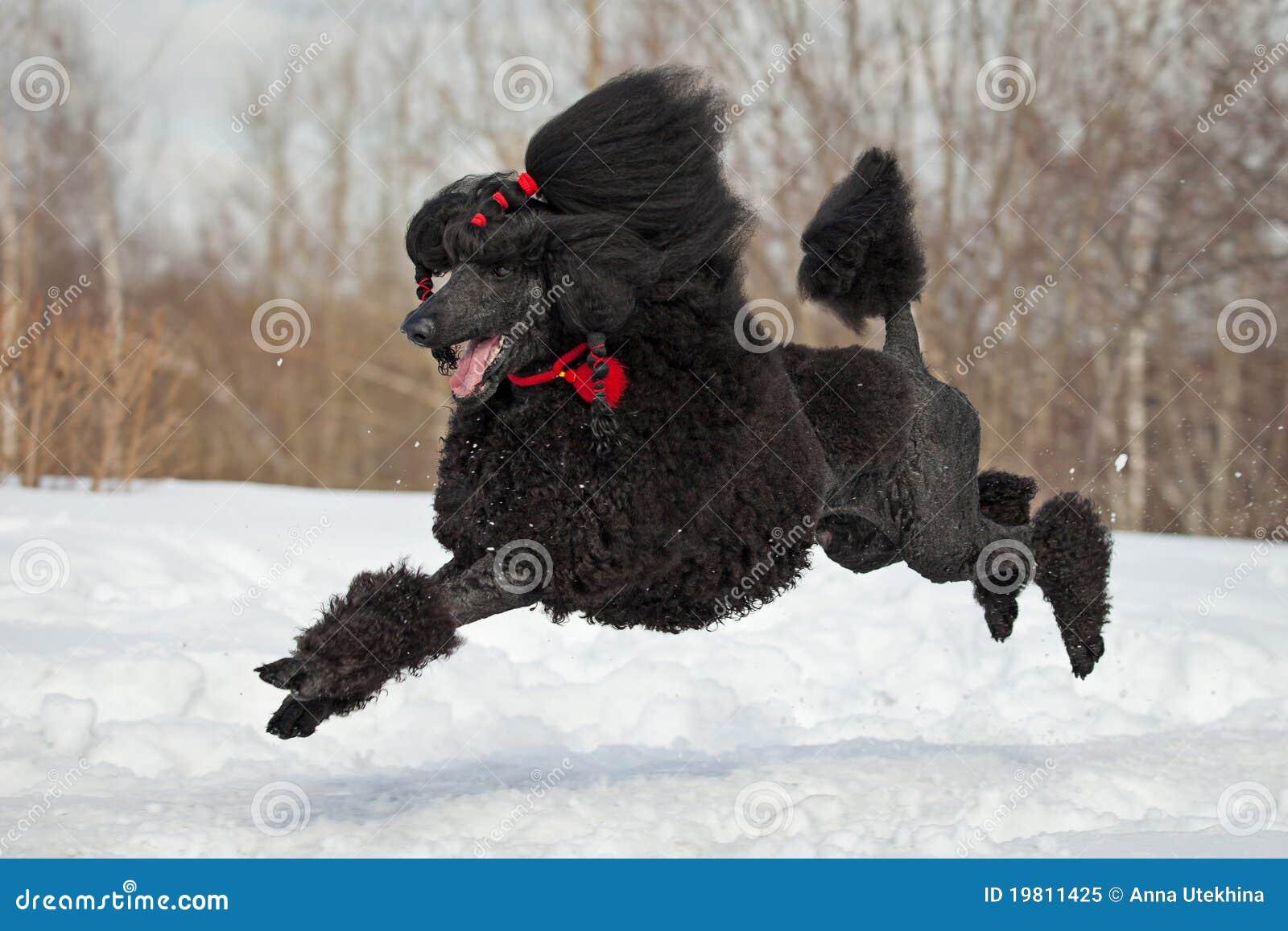 Black Poodle Royalty Free Stock Photo - Image: 19811425