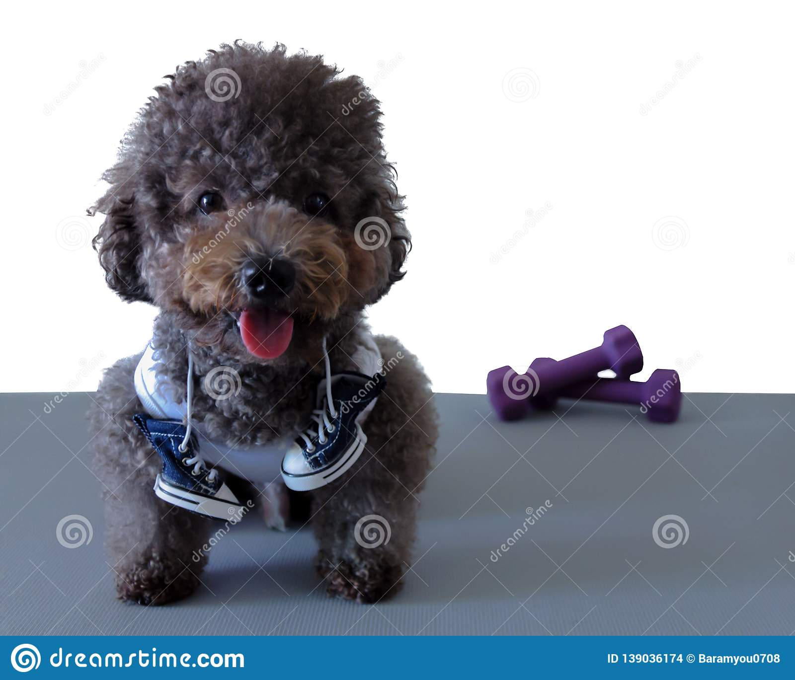 A black poodle dog wearing sport dress with shoe and Dumbbell.