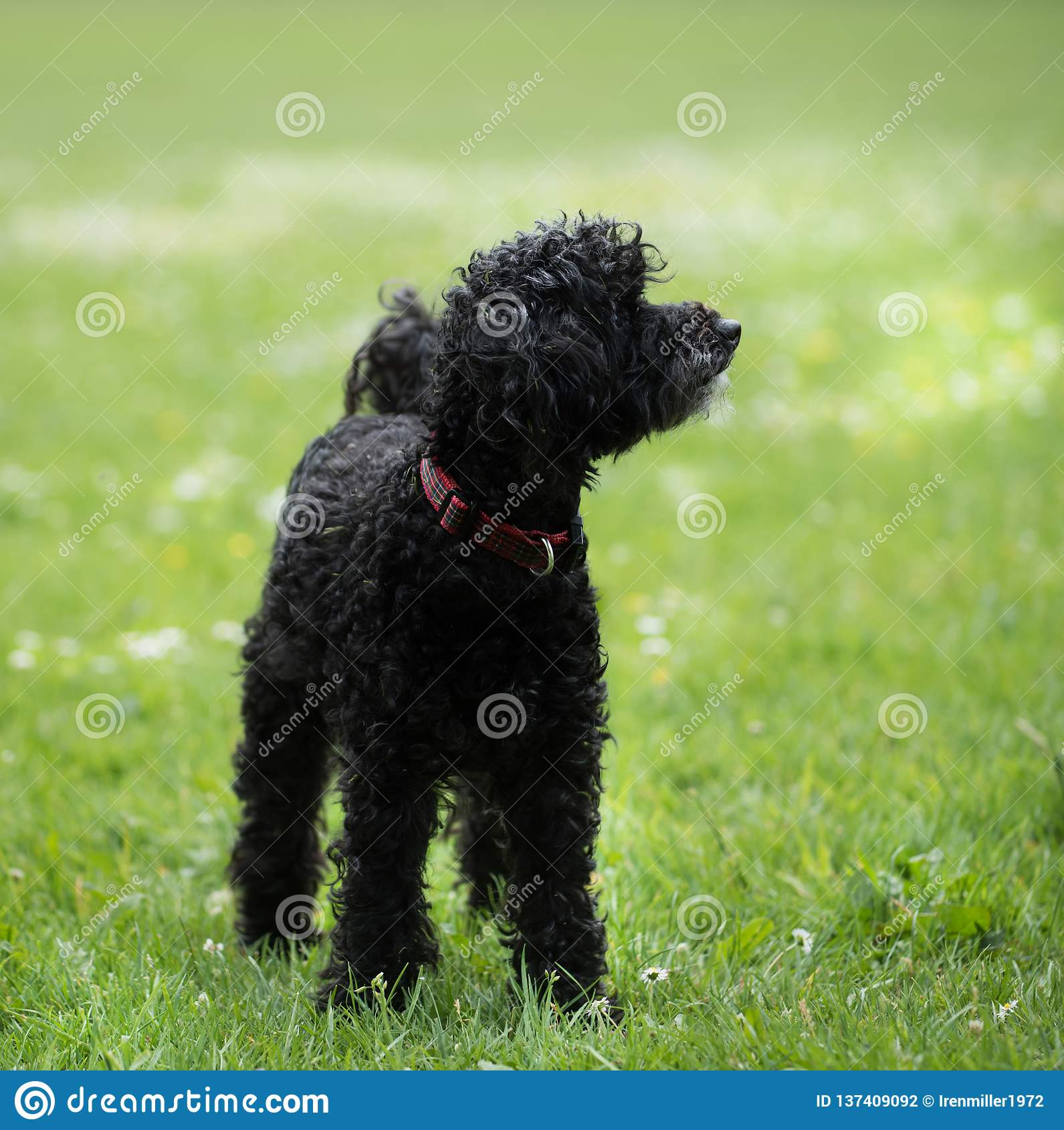 Black poodle staying on grass in a park