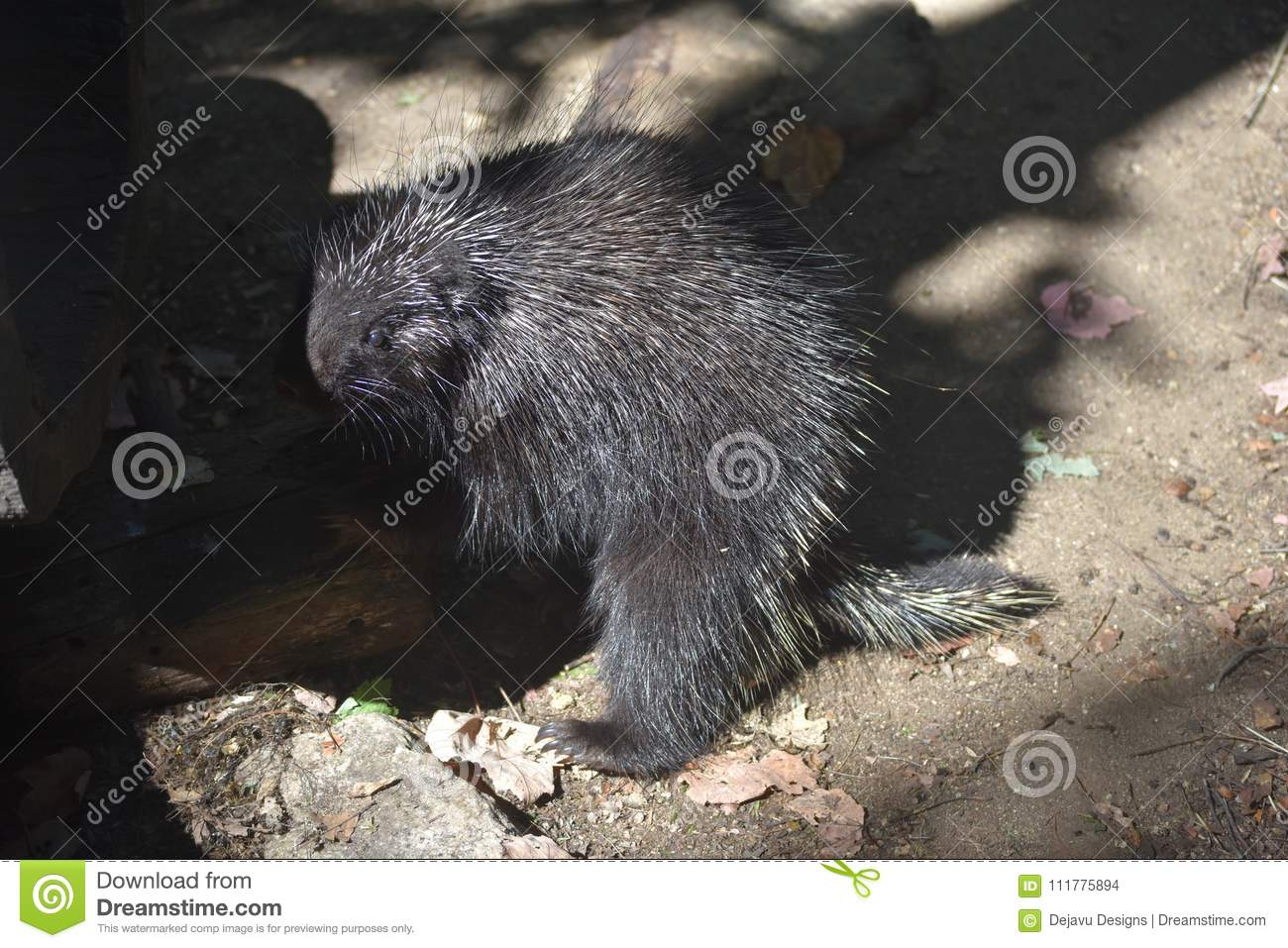 Black porcupine standing on its hind legs in the shade