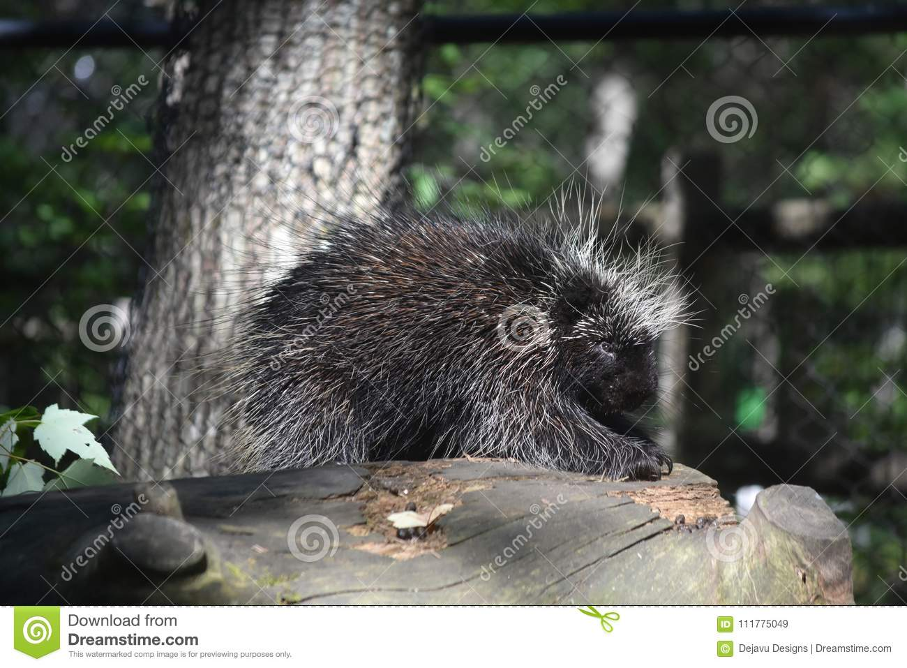 Black porcupine with white tipped prickly quills