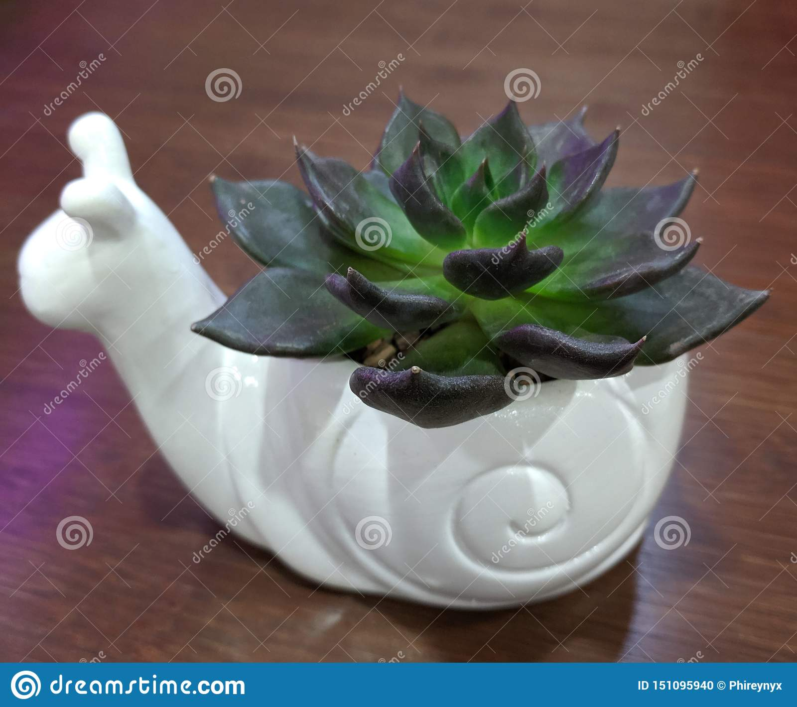 Black prince echeveria in a white snail pot on a warm wood background