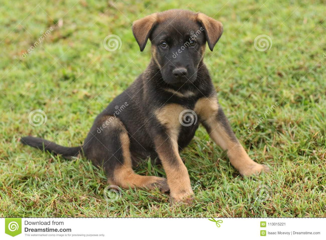 3 140 Brown Lab Puppy Photos Free Royalty Free Stock Photos From Dreamstime