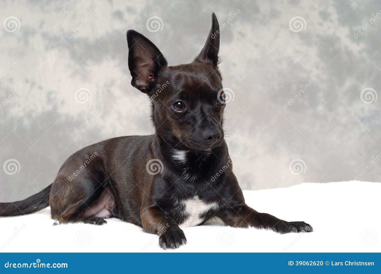 Black Puppy Dog Stock Photo - Image: 39062620