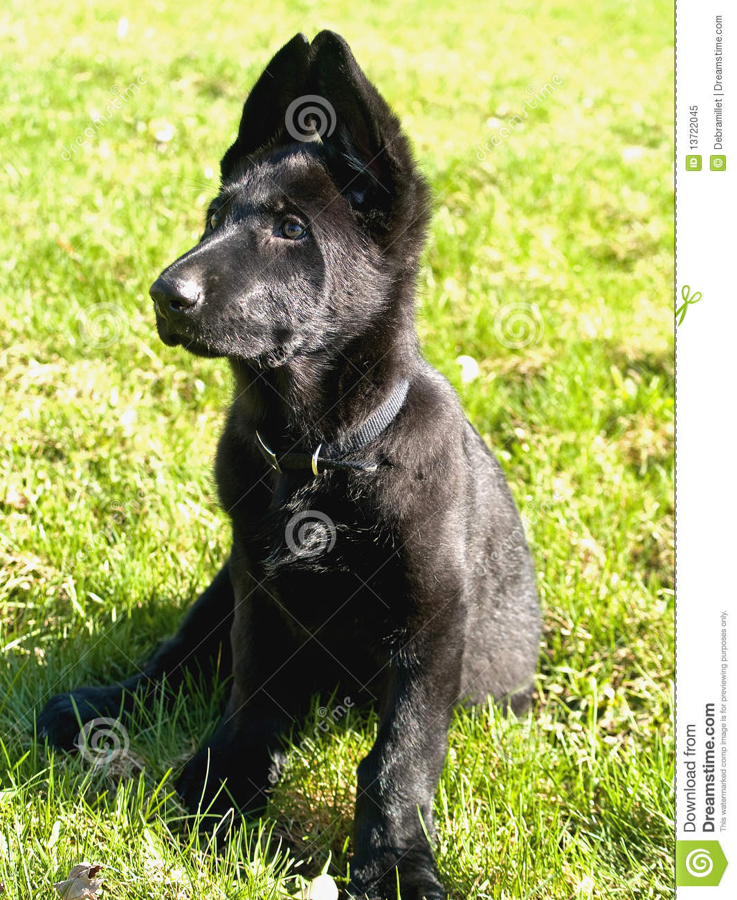 Black Pure Bred German Shepard Puppy Royalty Free Stock Photo - Image ...