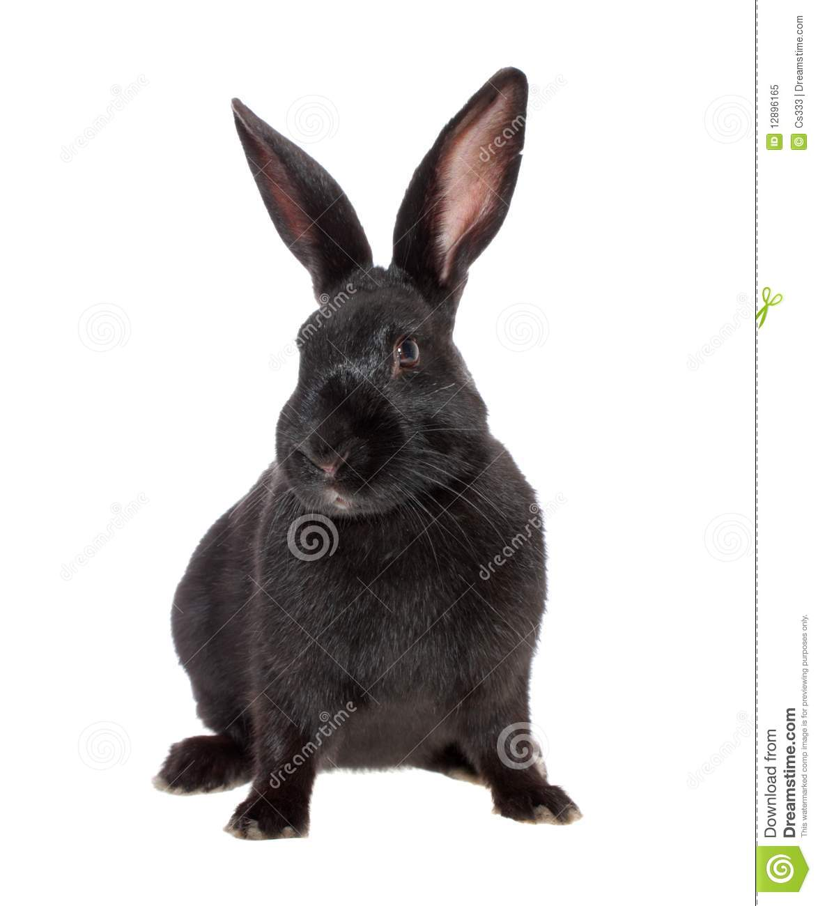 Black Rabbit, Isolated. Royalty Free Stock Photo - Image: 12896165