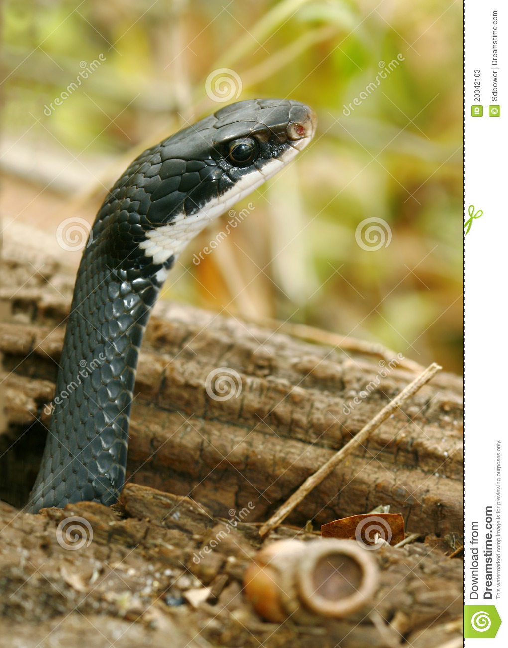 What does a cobra snake look like 10