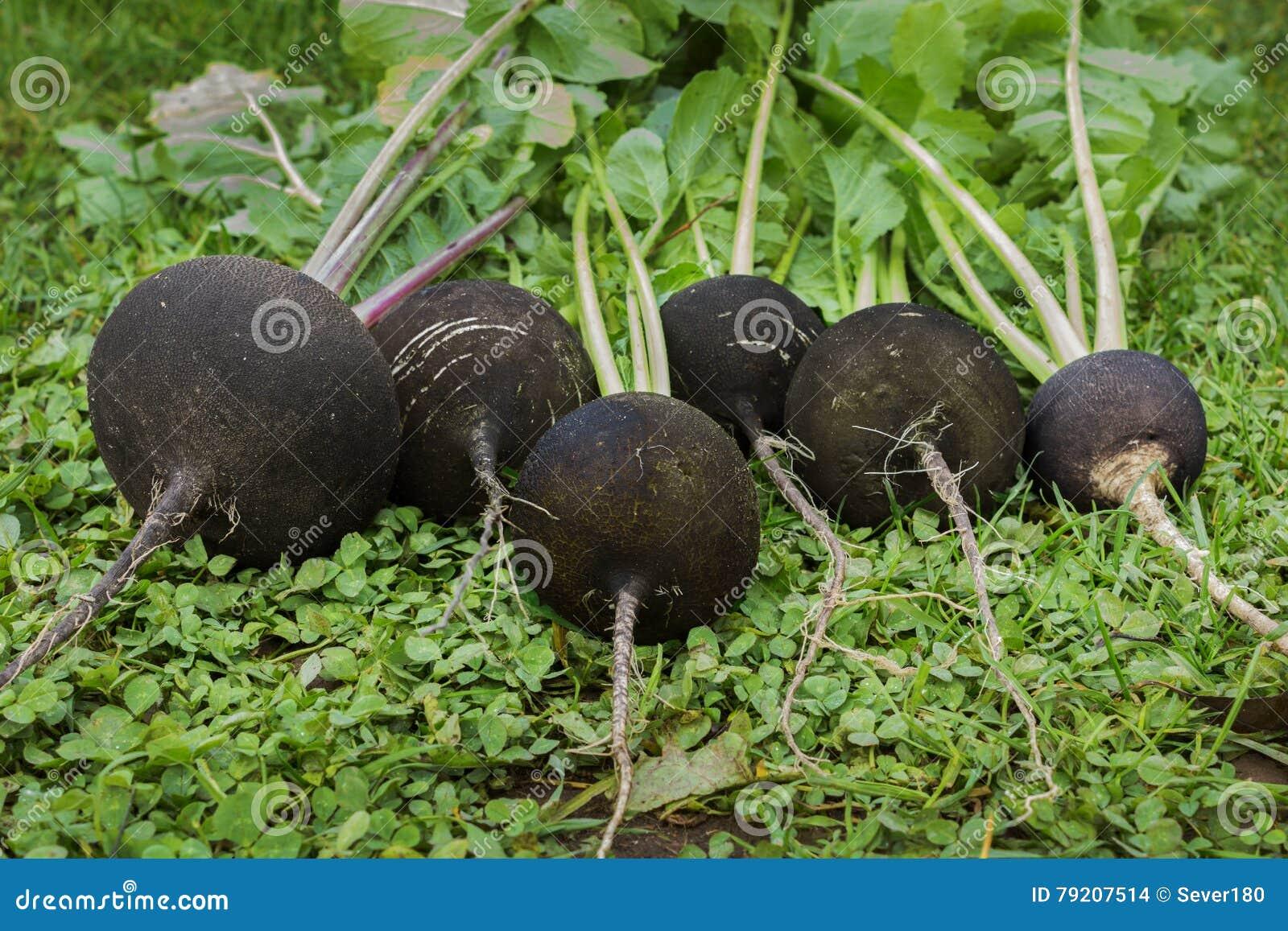 Black radish reaches maturity in October