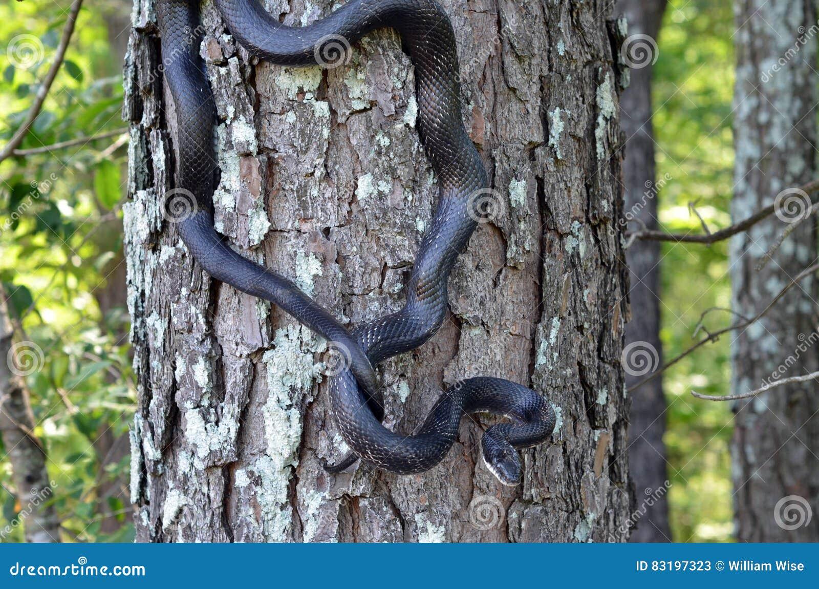 Black Rat Snake Climbing Tree Stock Image - Image of shed
