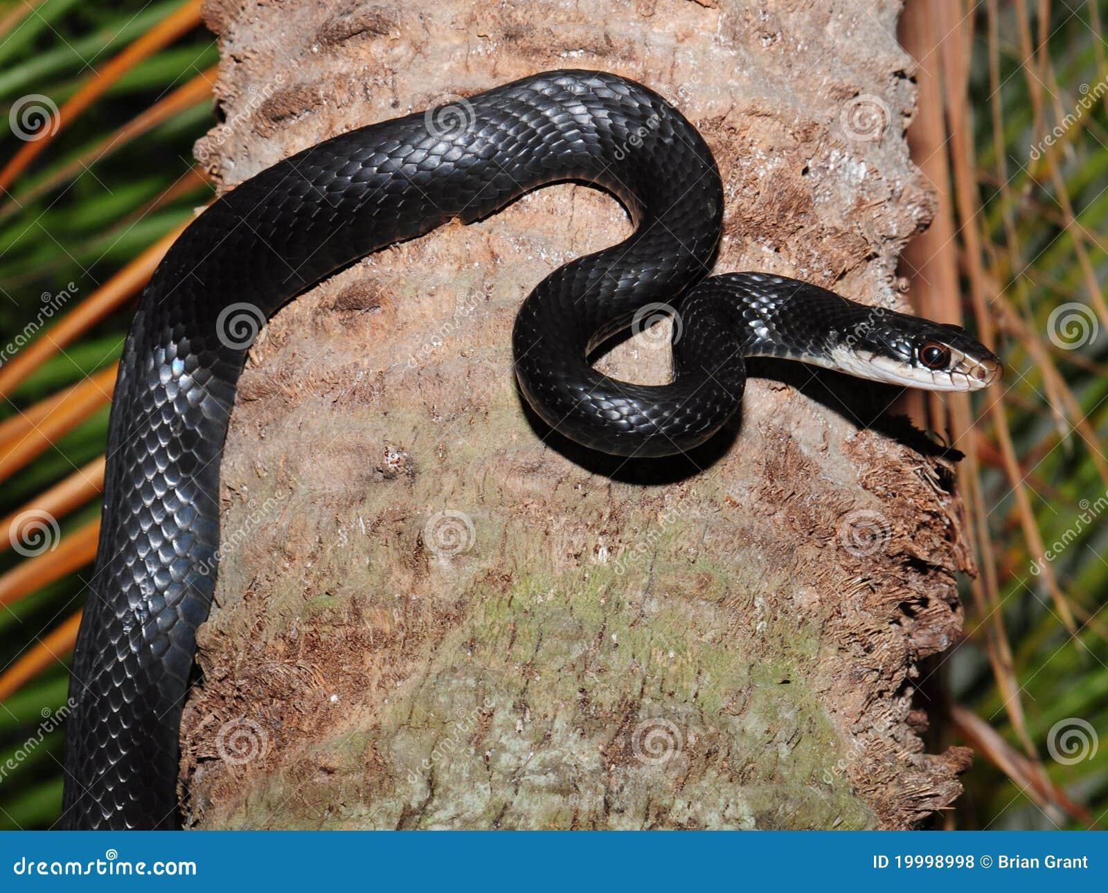Black rat snake elaphe obsoleta stock photo image for Serpente nero italiano