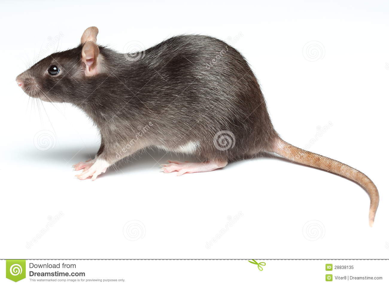 Black Rat On White Royalty Free Stock Photo - Image: 28838135