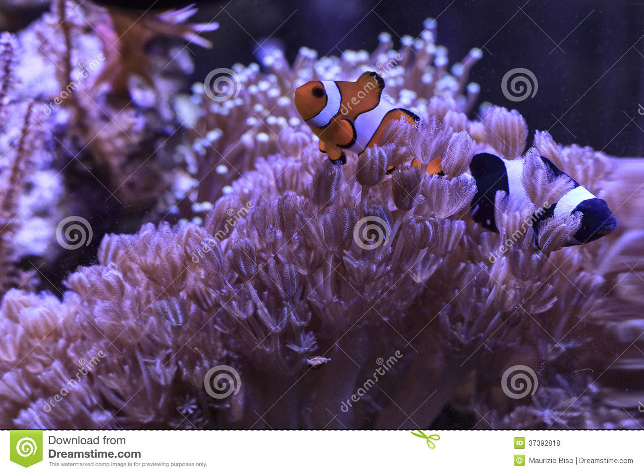 Black And Red Clownfishes Royalty Free Stock Photos ...