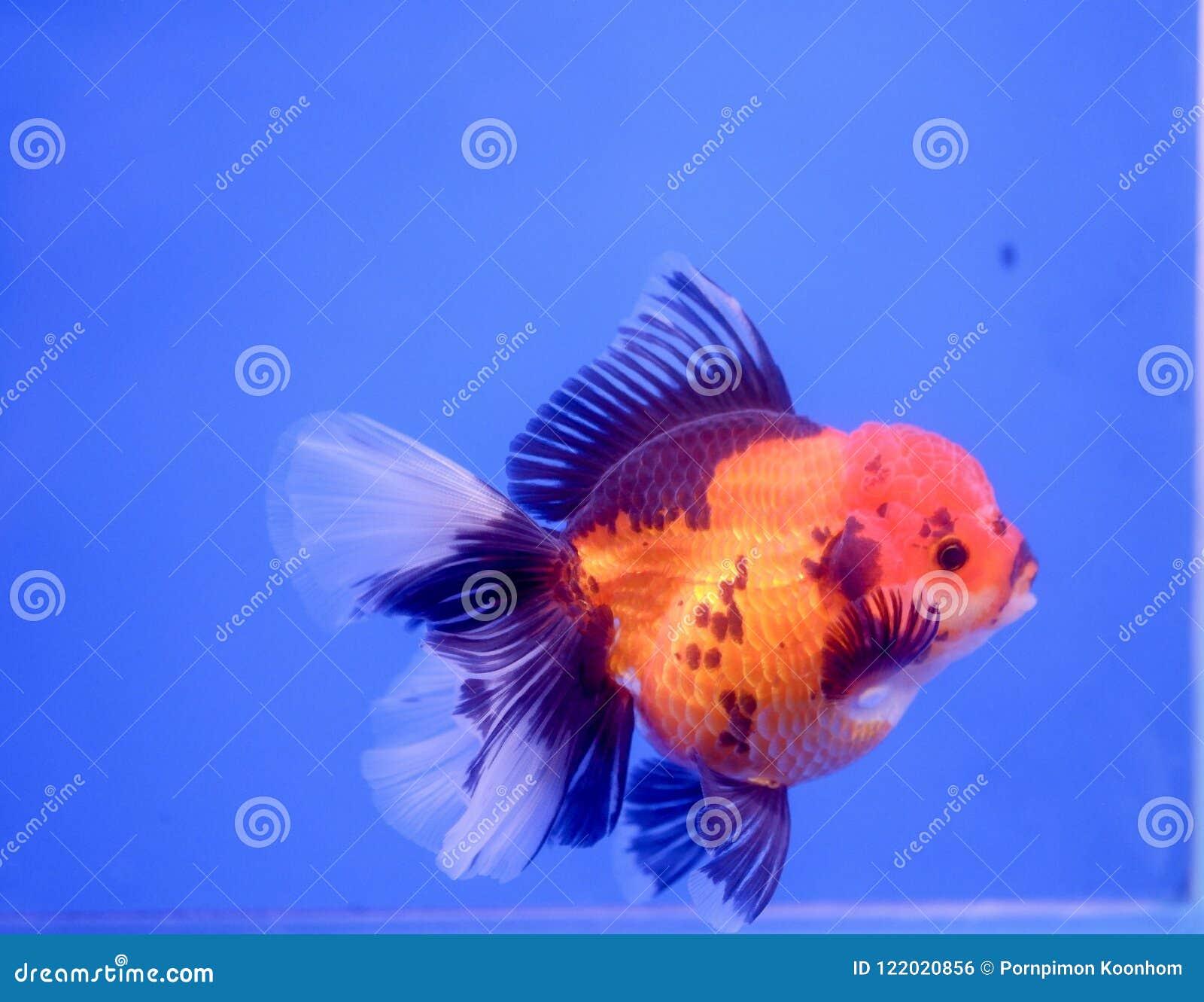 Gold fish in fish tank