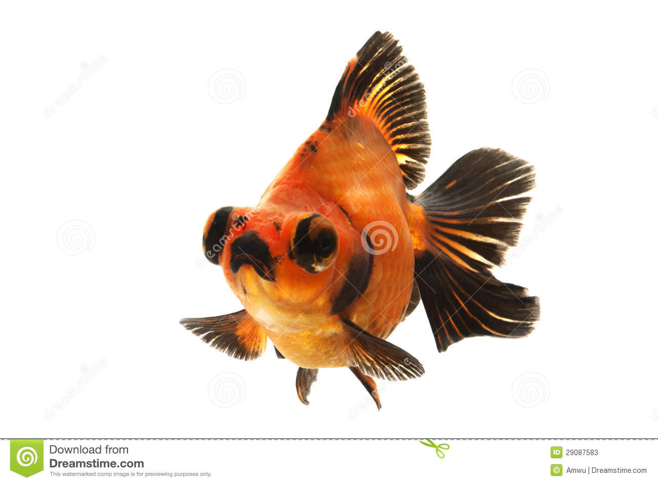 Black and orange goldfish the image kid for Pesce rosso butterfly