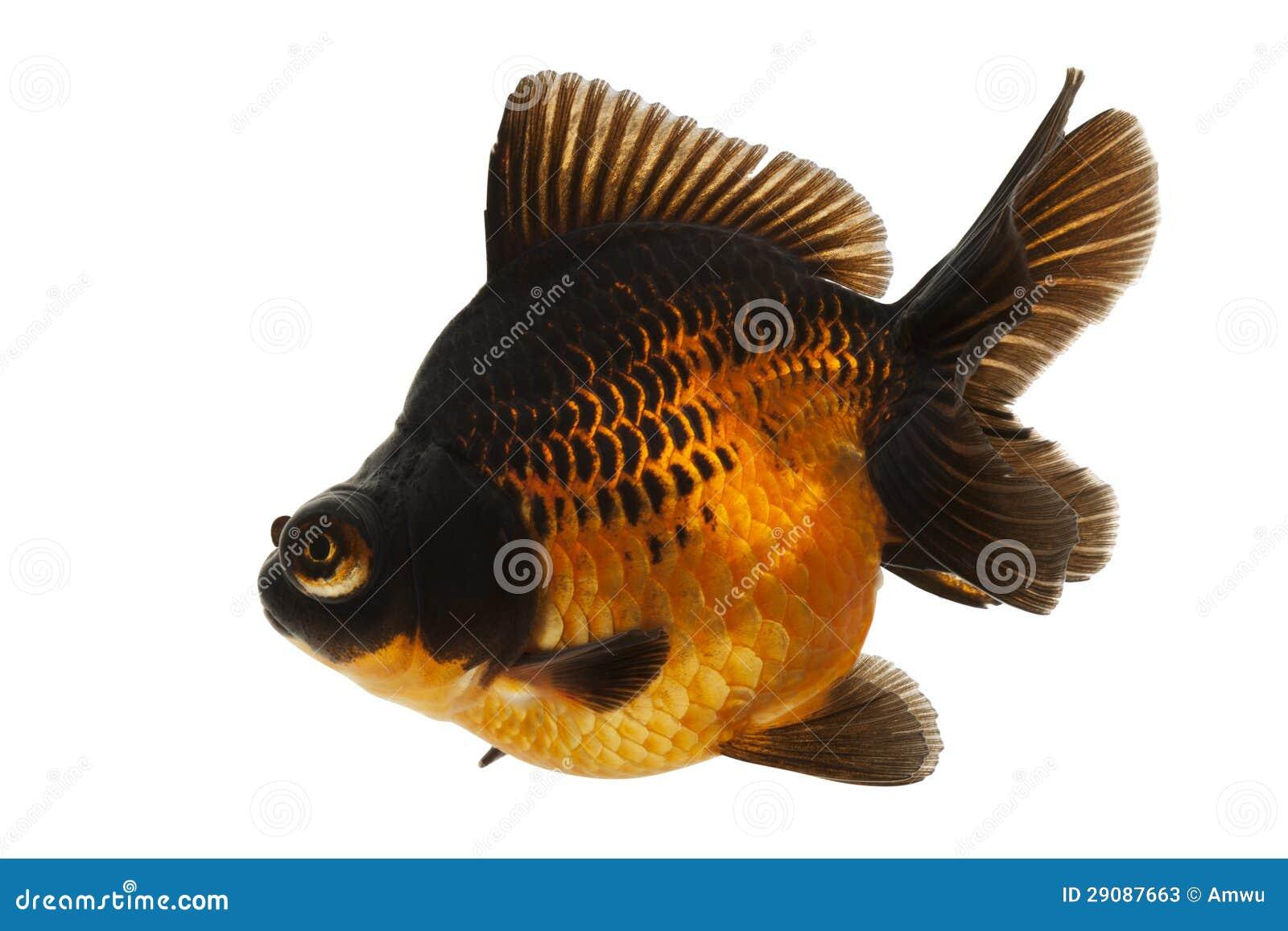 Red Goldfish Stock Photography Cartoondealer Com 81807128