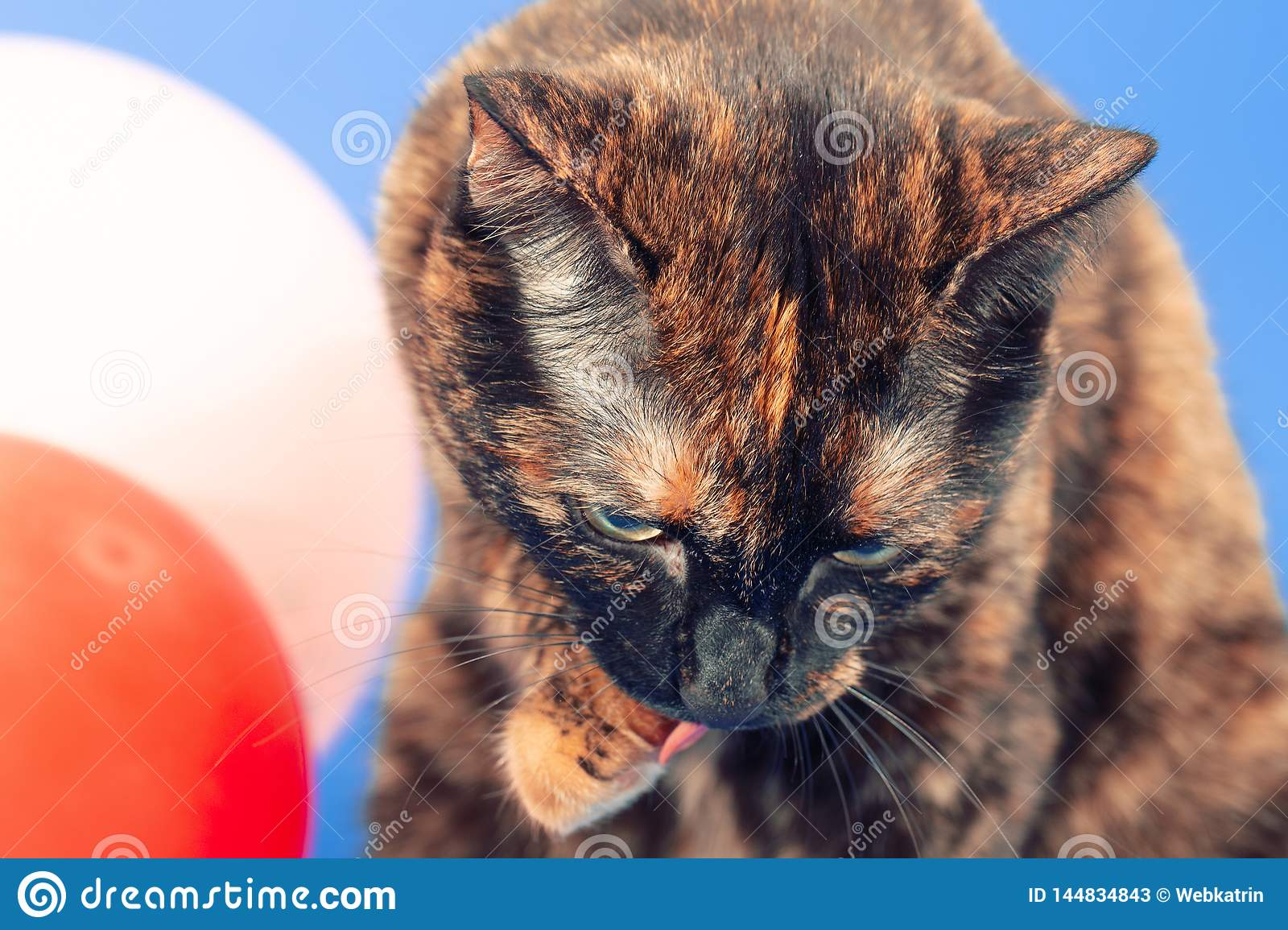 Black and red tortoiseshell cat on a blue background next to inflatable balloons