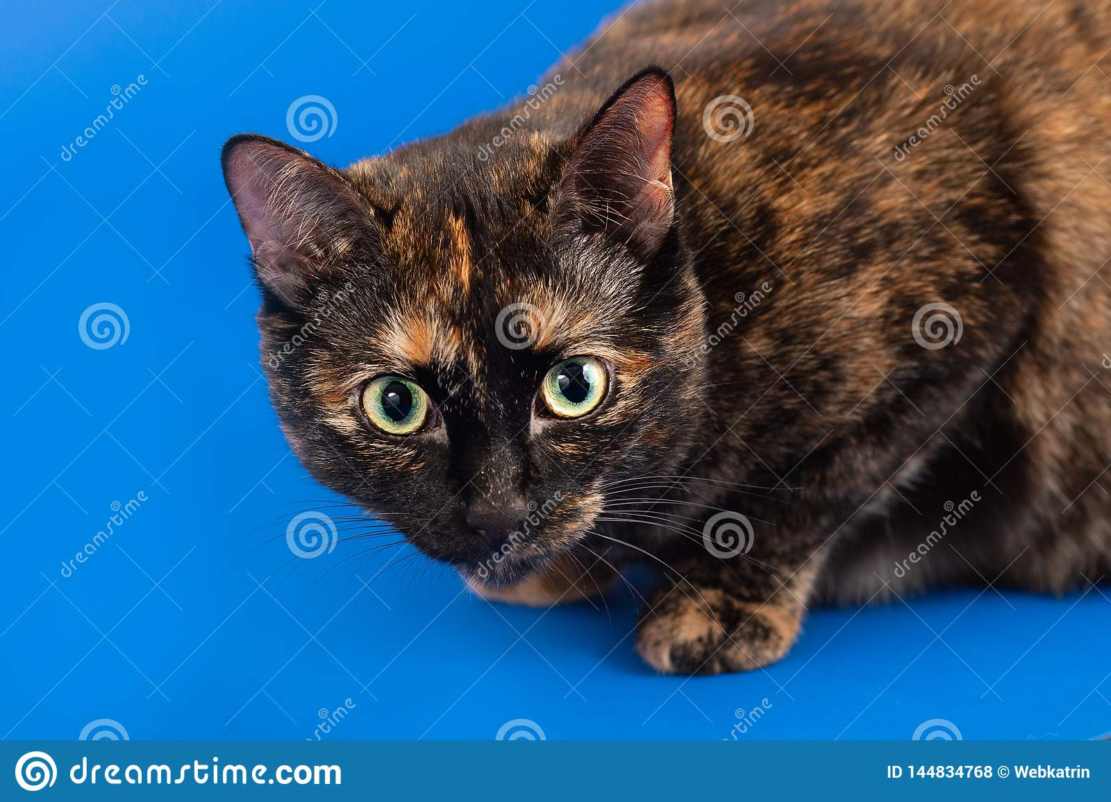 Black And Red Tortoiseshell Cat On A Blue Background Stock ...