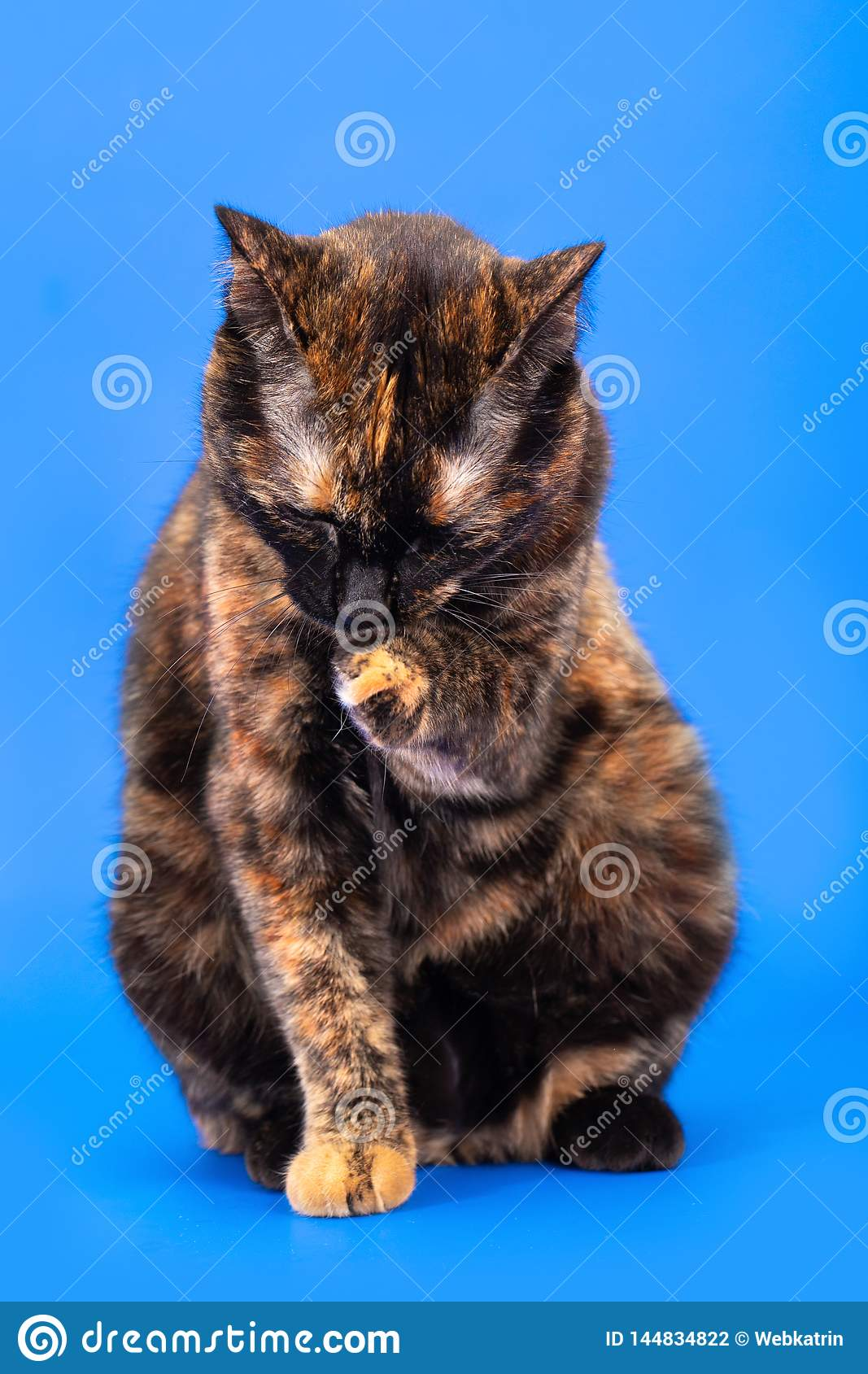 Black and red tortoiseshell cat on a blue background