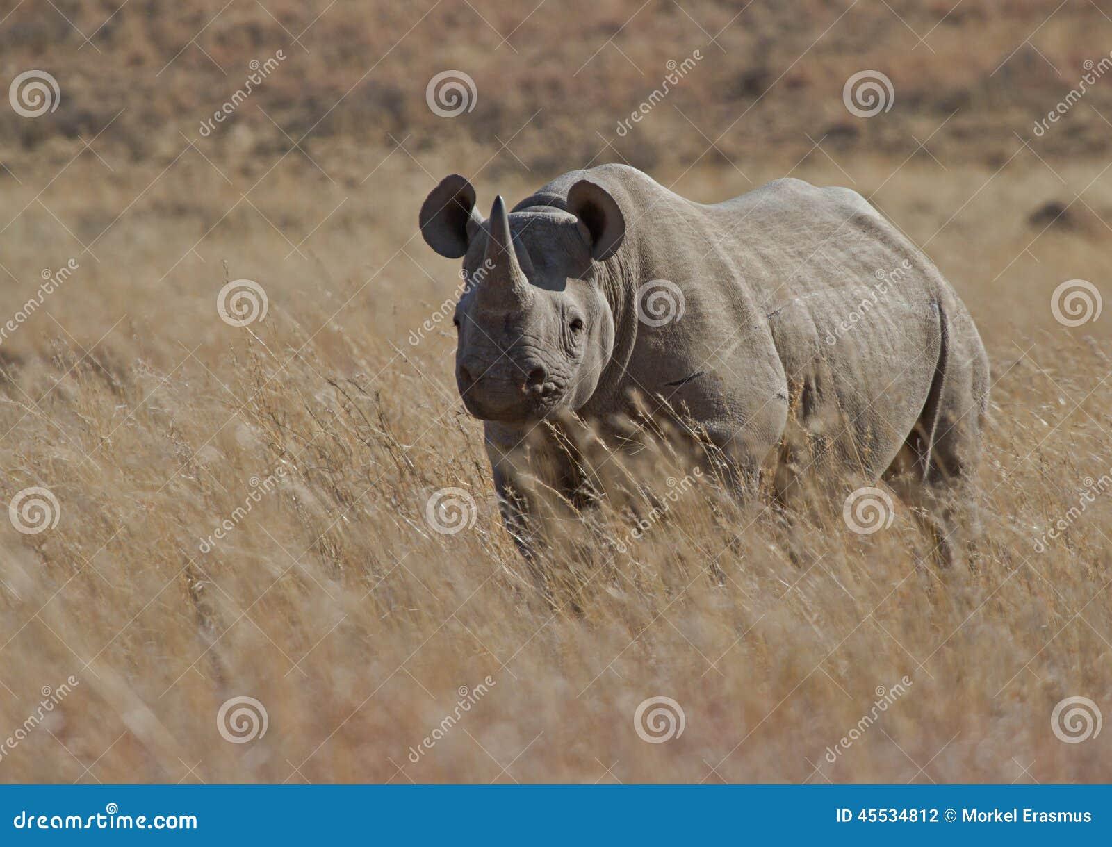 Black Rhino male on an African plain