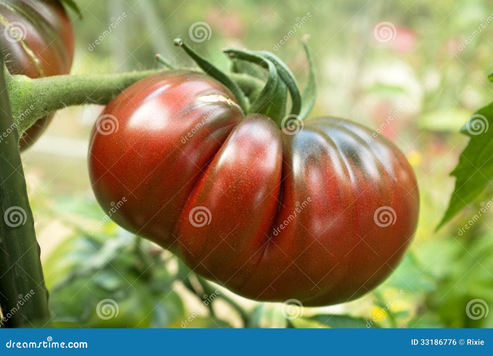 black russian tomato stock photo image of crop closeup 33186776. Black Bedroom Furniture Sets. Home Design Ideas