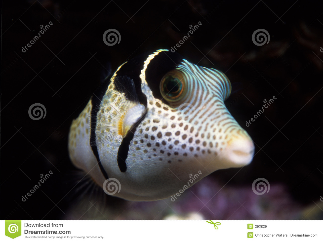 Black saddled toby puffer fish royalty free stock images for Puffer fish price