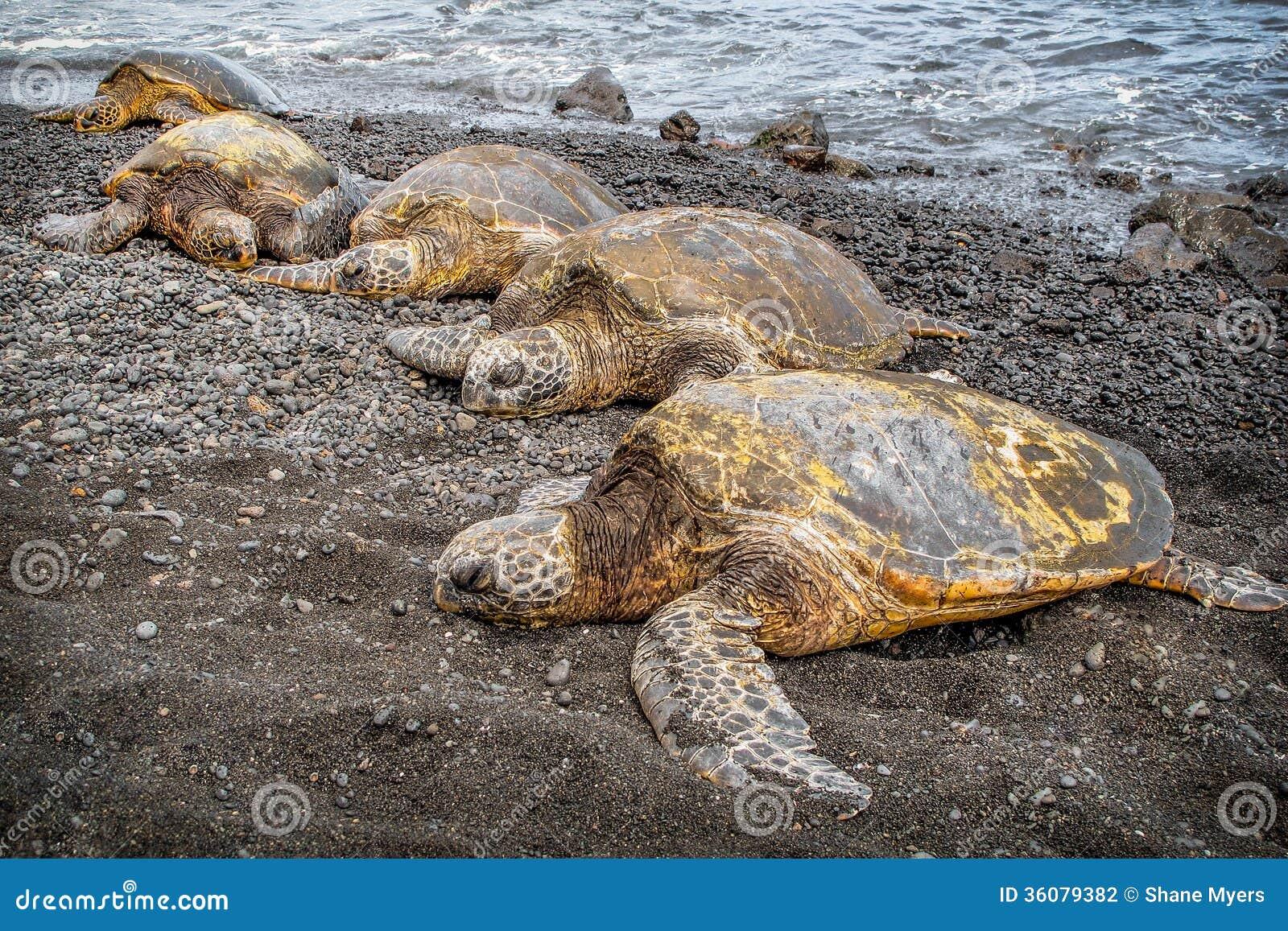 Sea Turtles Big Island