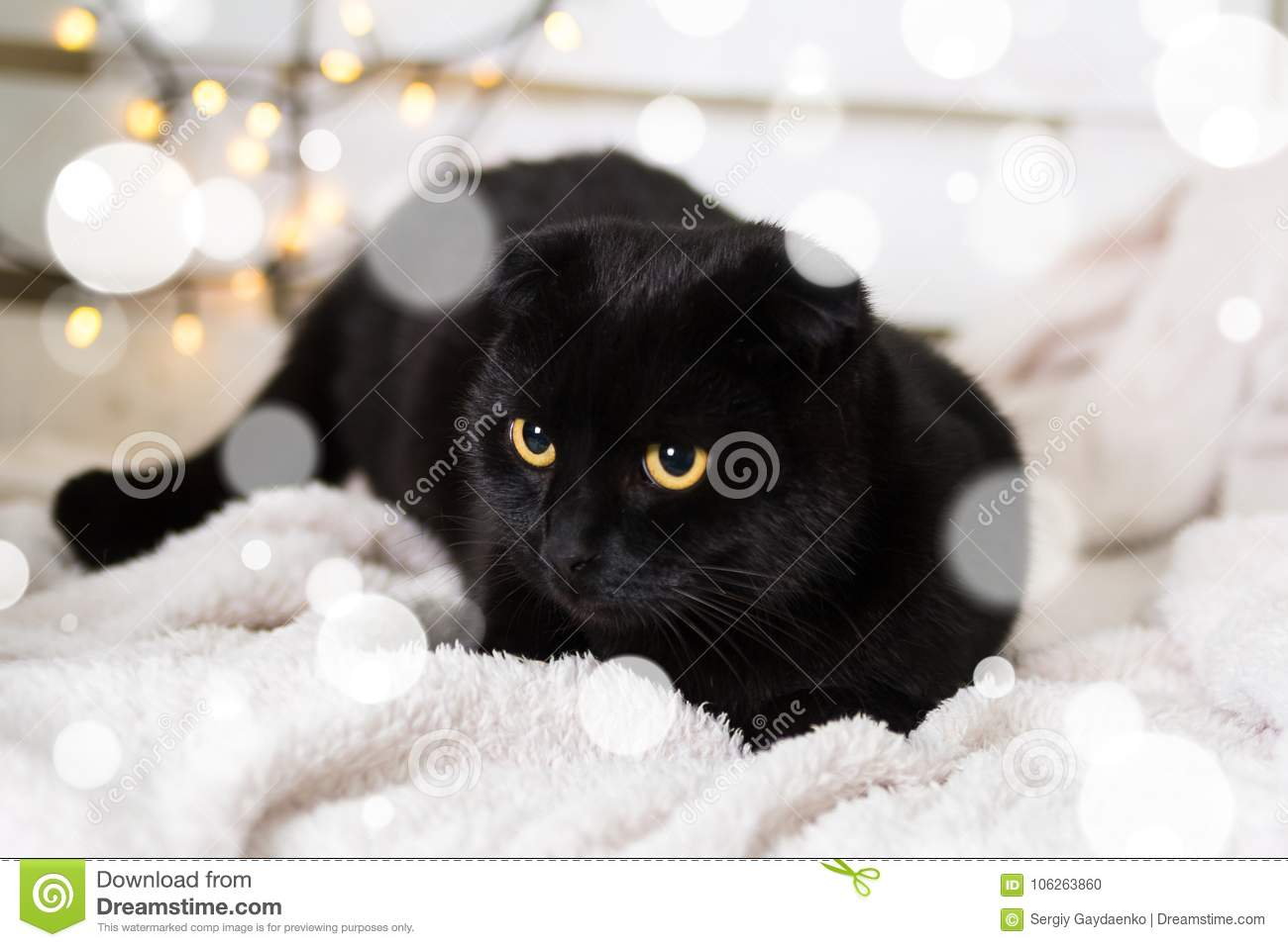 Download Black Scottish Fold Cat Wearing Christmas Costume. Year Of The Dog Concept Stock Photo & Black Scottish Fold Cat Wearing Christmas Costume. Year Of The Dog ...
