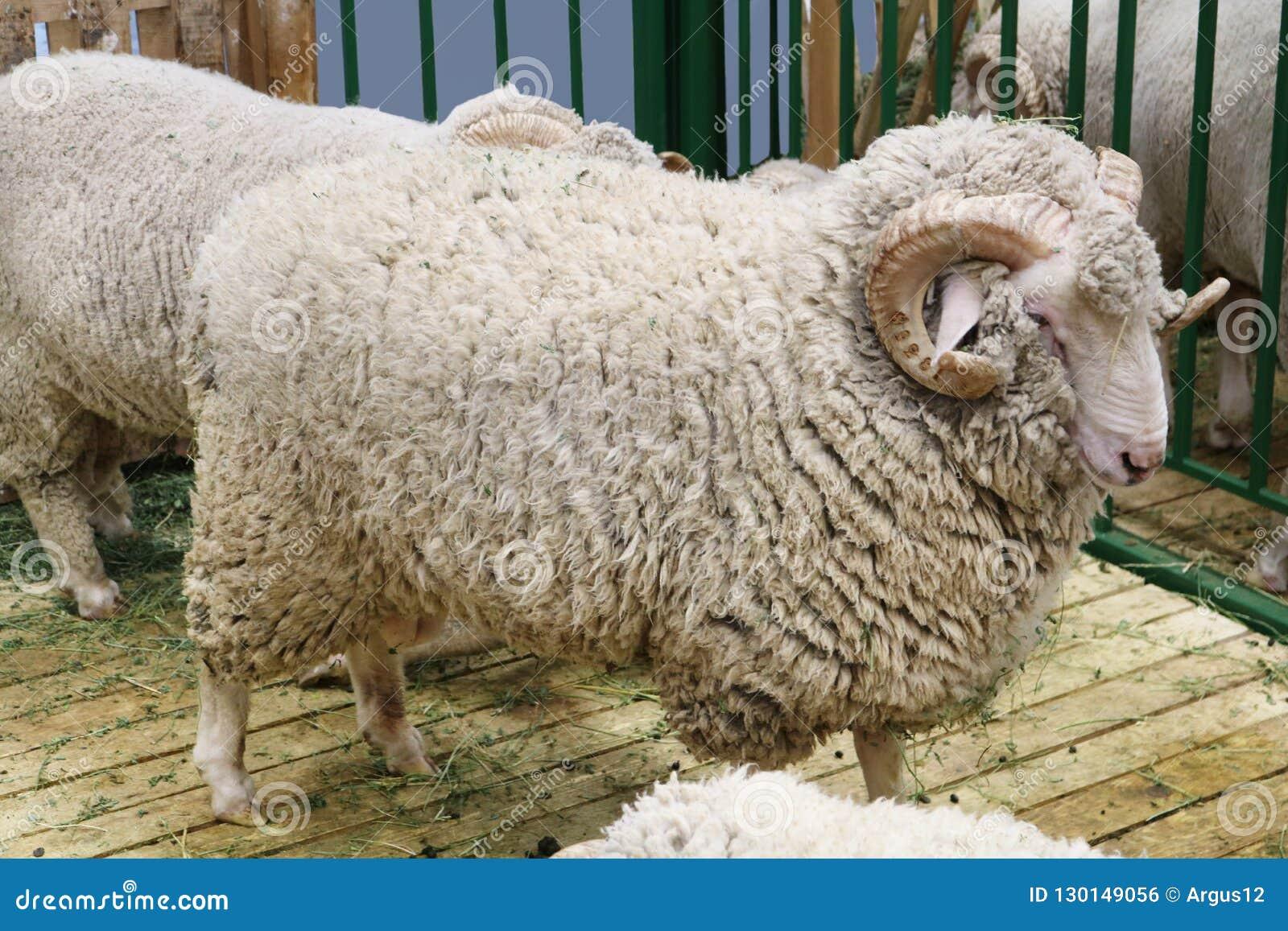Black sheep domestic merino sheep