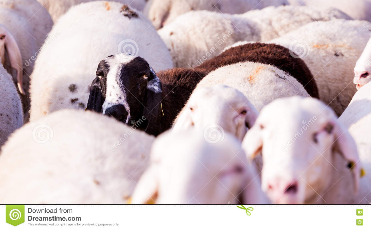 The Black Sheep Of The Family Stock Image - Image of goat, pasture