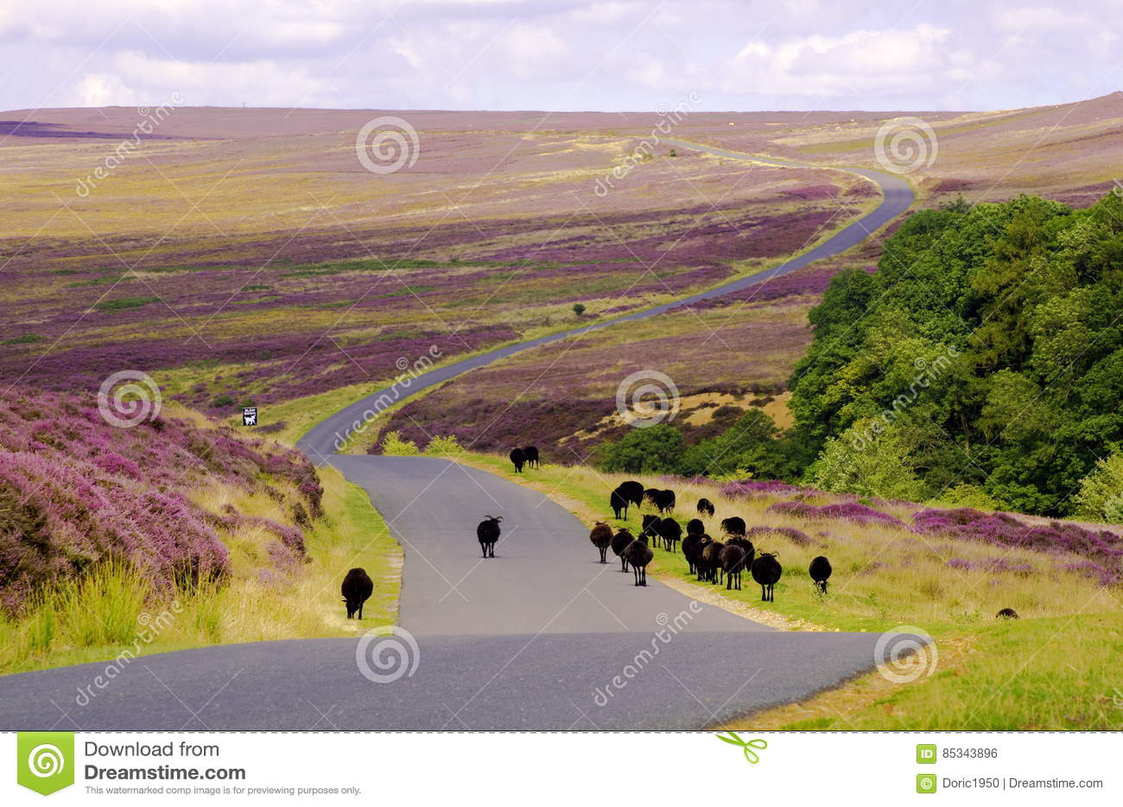 Black Sheep on Spaunton Moor, North York Moors