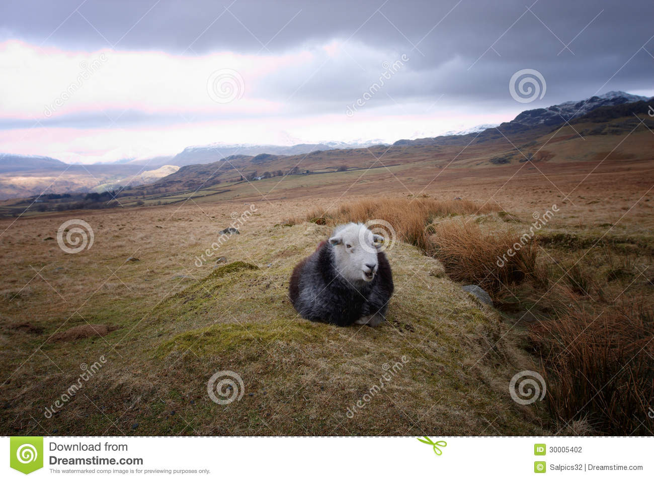 A Black Sheep With A White Face Stock Photo - Image of nobody ... for Sheep Face Black And White  181obs