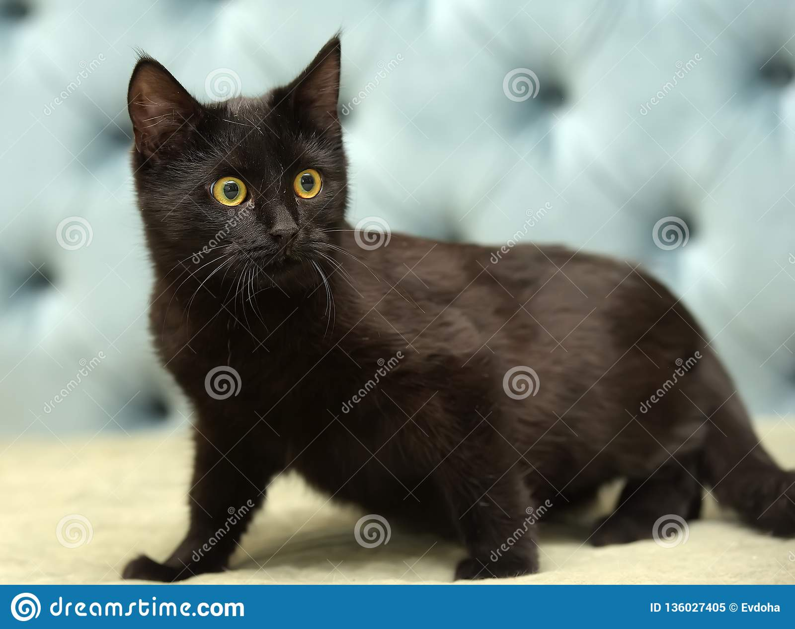 Black shorthair cat with yellow eyes
