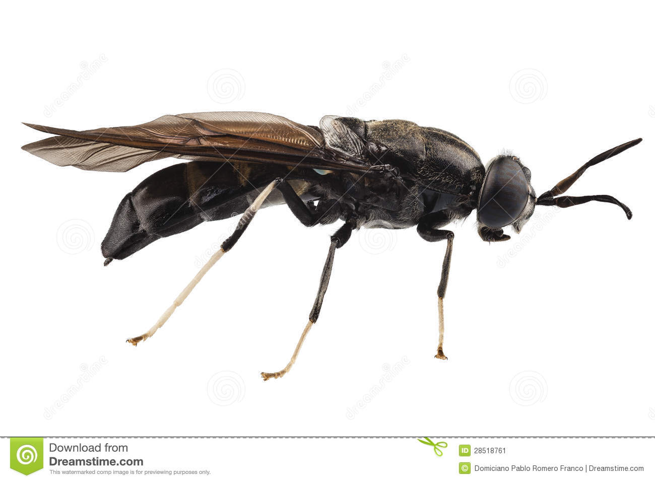 Black soldier fly species Hermetia illucens in high definition with ...