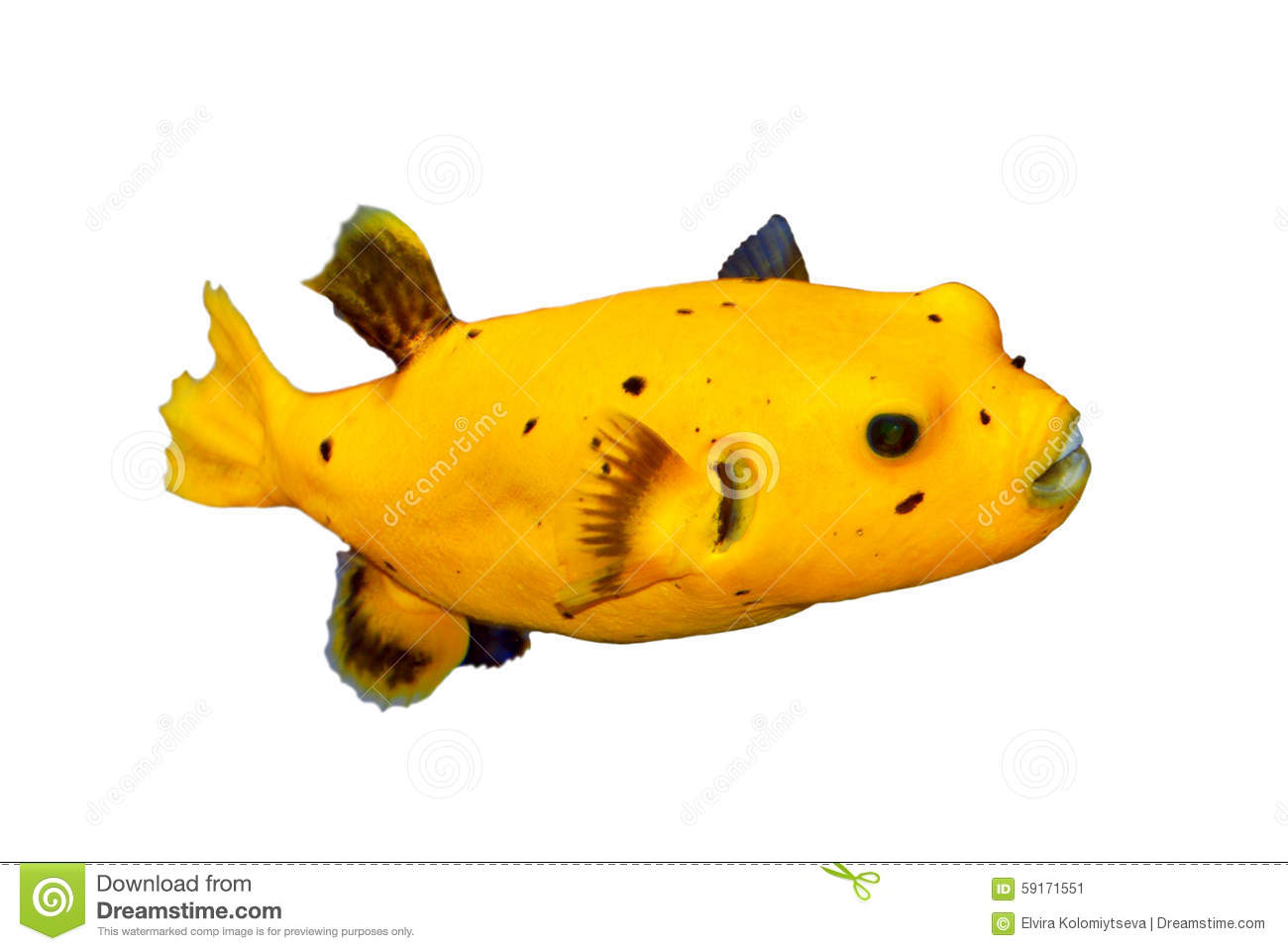 Black spotted or dog faced puffer fish stock image image for Puffer fish price