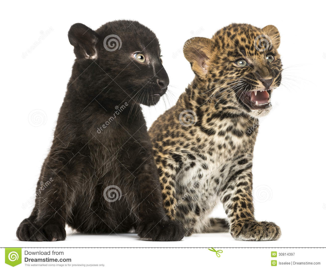 Black And Spotted Leopard Cubs Sitting Next To Each Other Royalty Free ... Xavier Laflamme Shirt