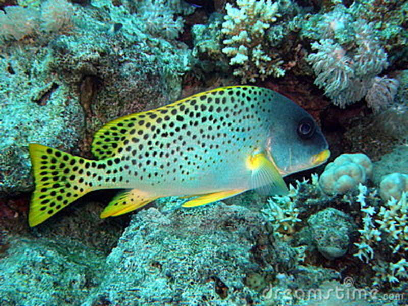 Black spotted sweetlips or grunt fish stock image image for Sweet lips fish