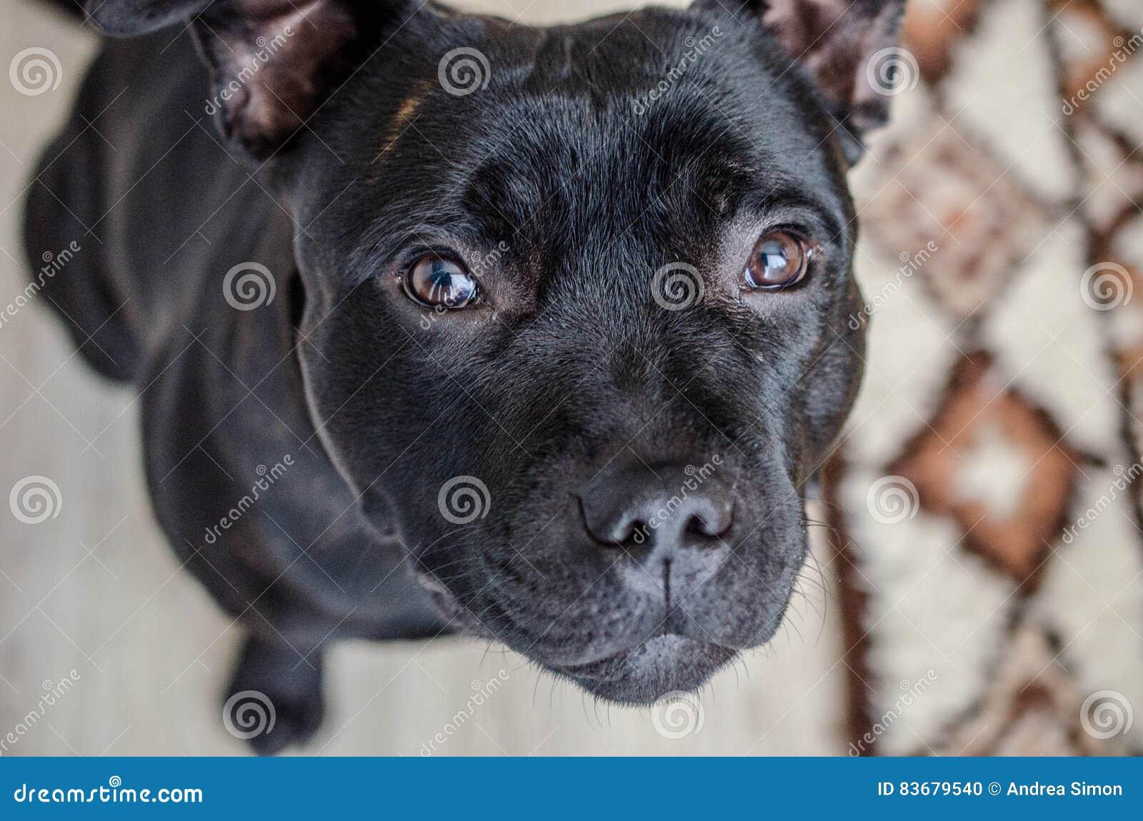 Black Staffordshire Terrier