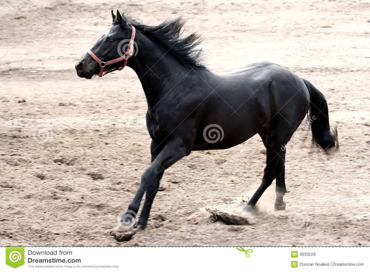Black Stallion Running Royalty Free Stock Images - Image ...