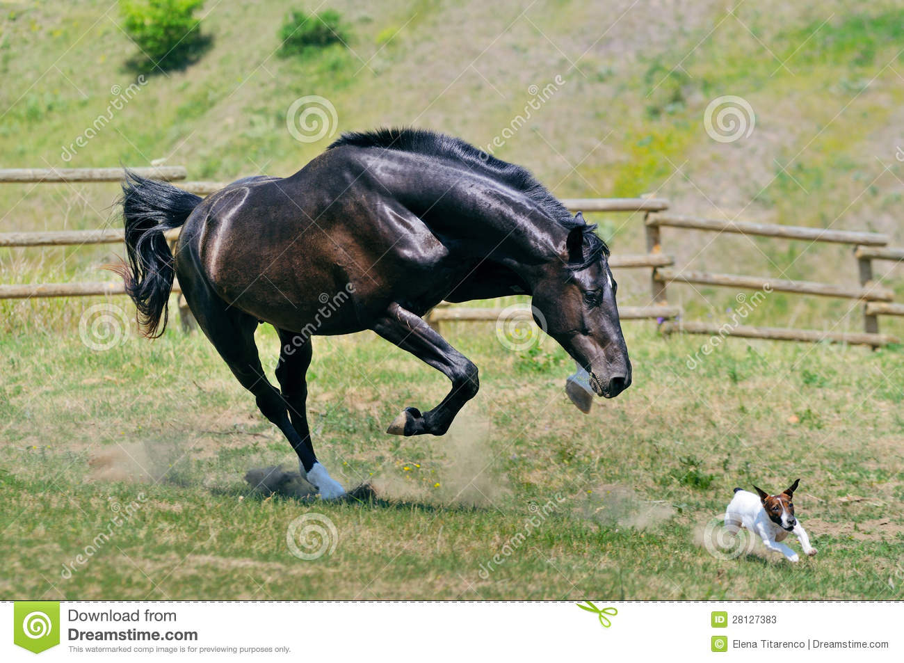 Black Stallion Running After Jack Russel Terrier Stock ...