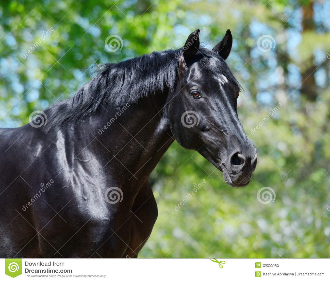 Black Stallion Horse Face