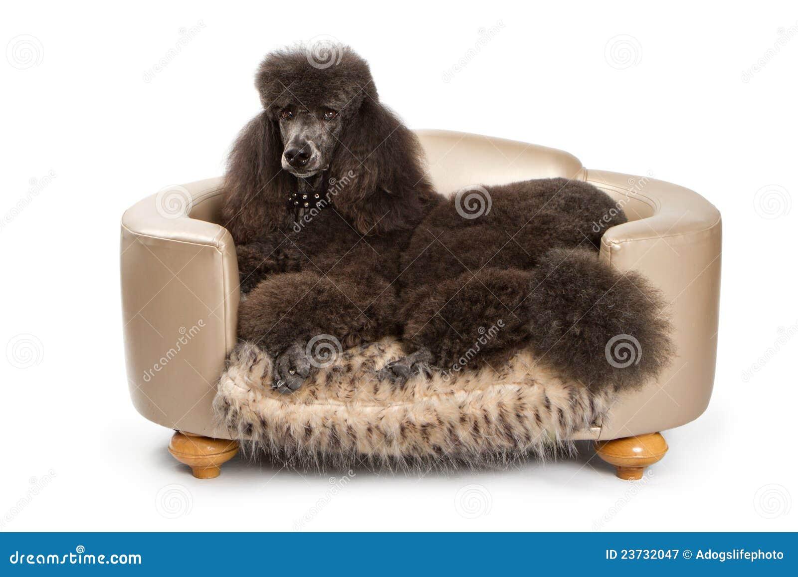 Black Standard Poodle Dog On Luxury Bed Royalty Free Stock ...