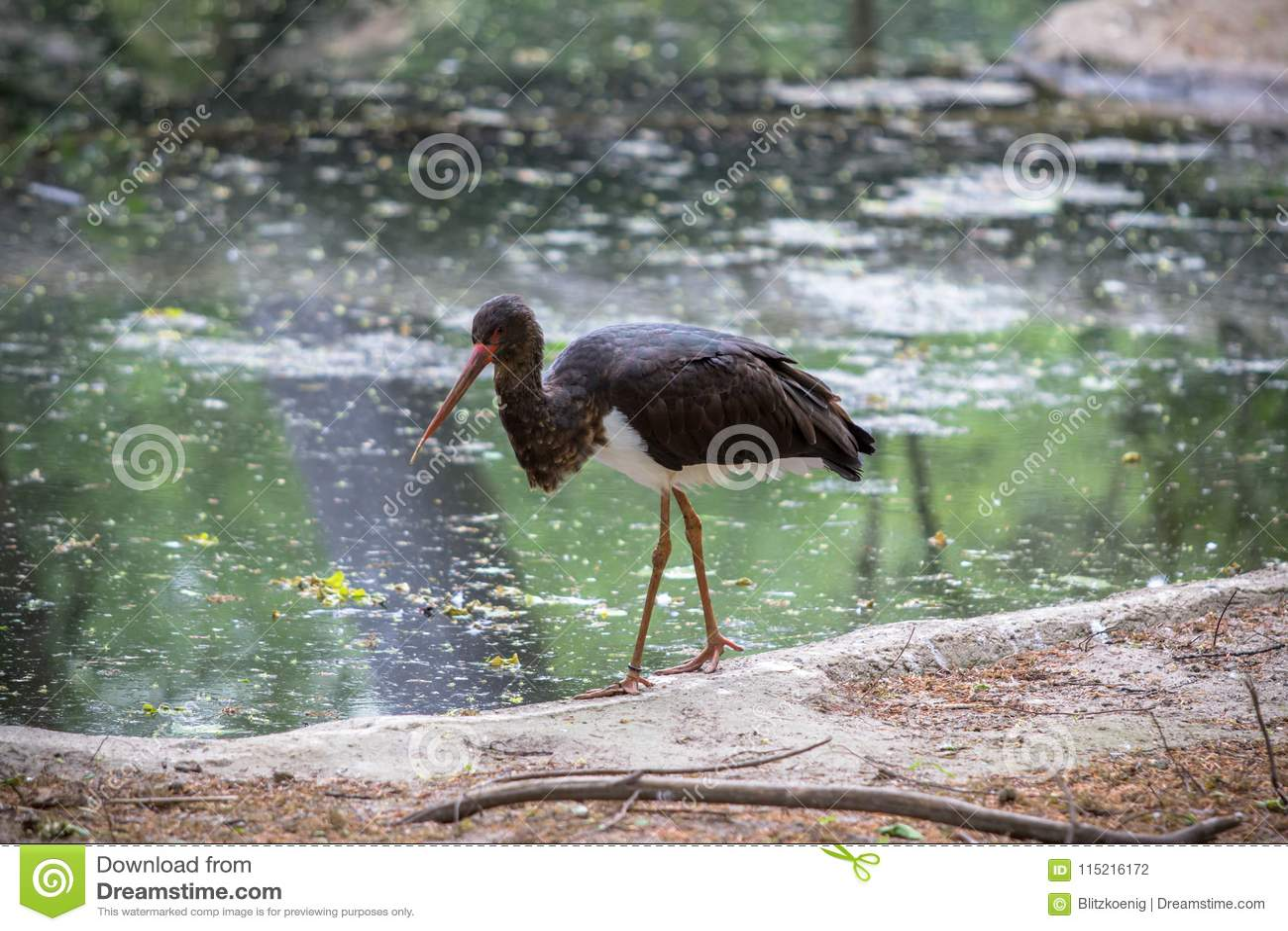 Black stork in a Zoo, Berlin